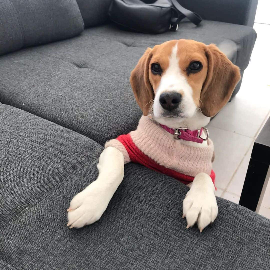 beagle dog in the house