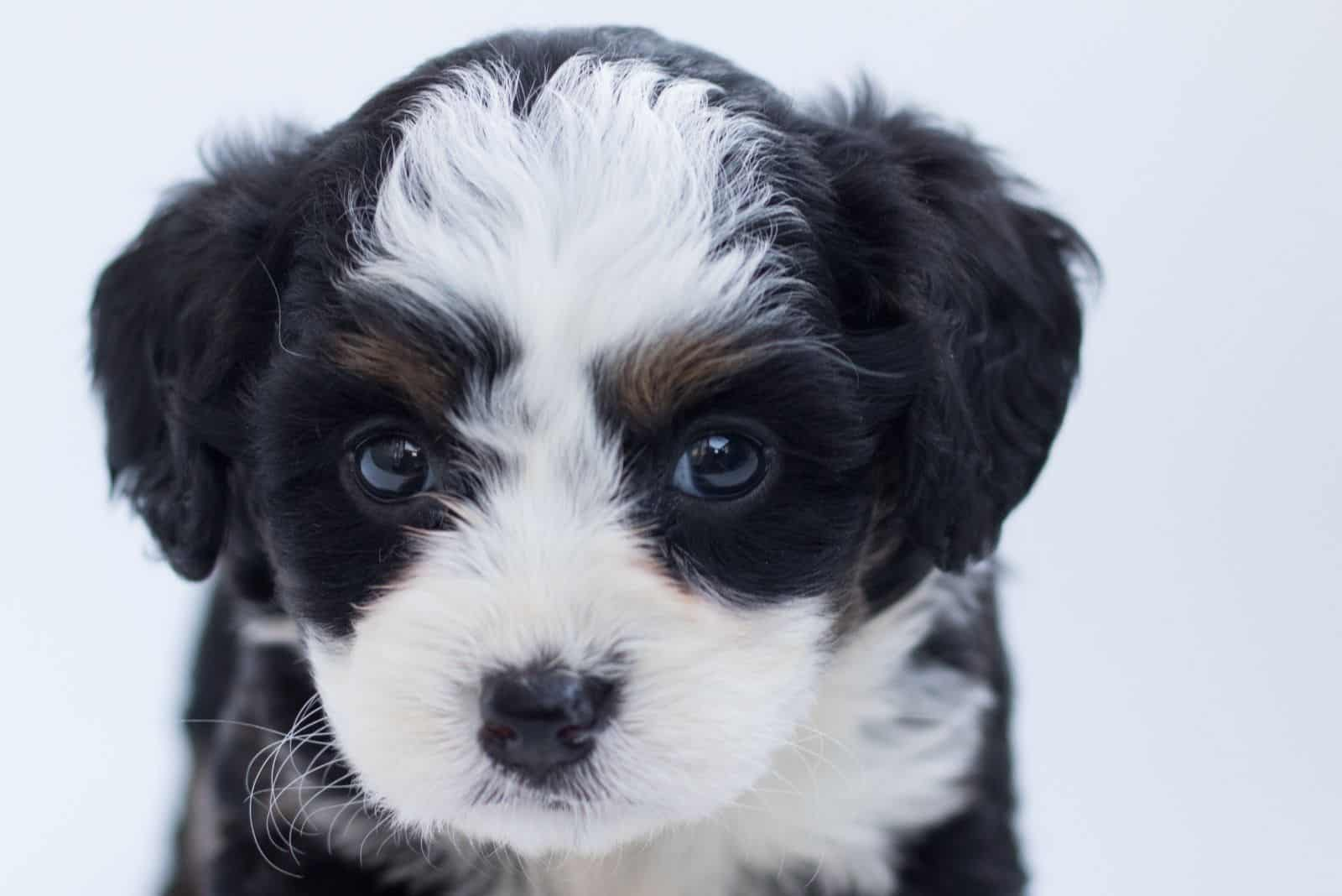 bernedoodle in a headshot in white background