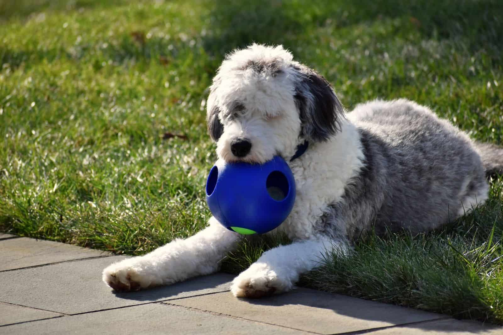 bernedoodle playing with ball outdoors near the road