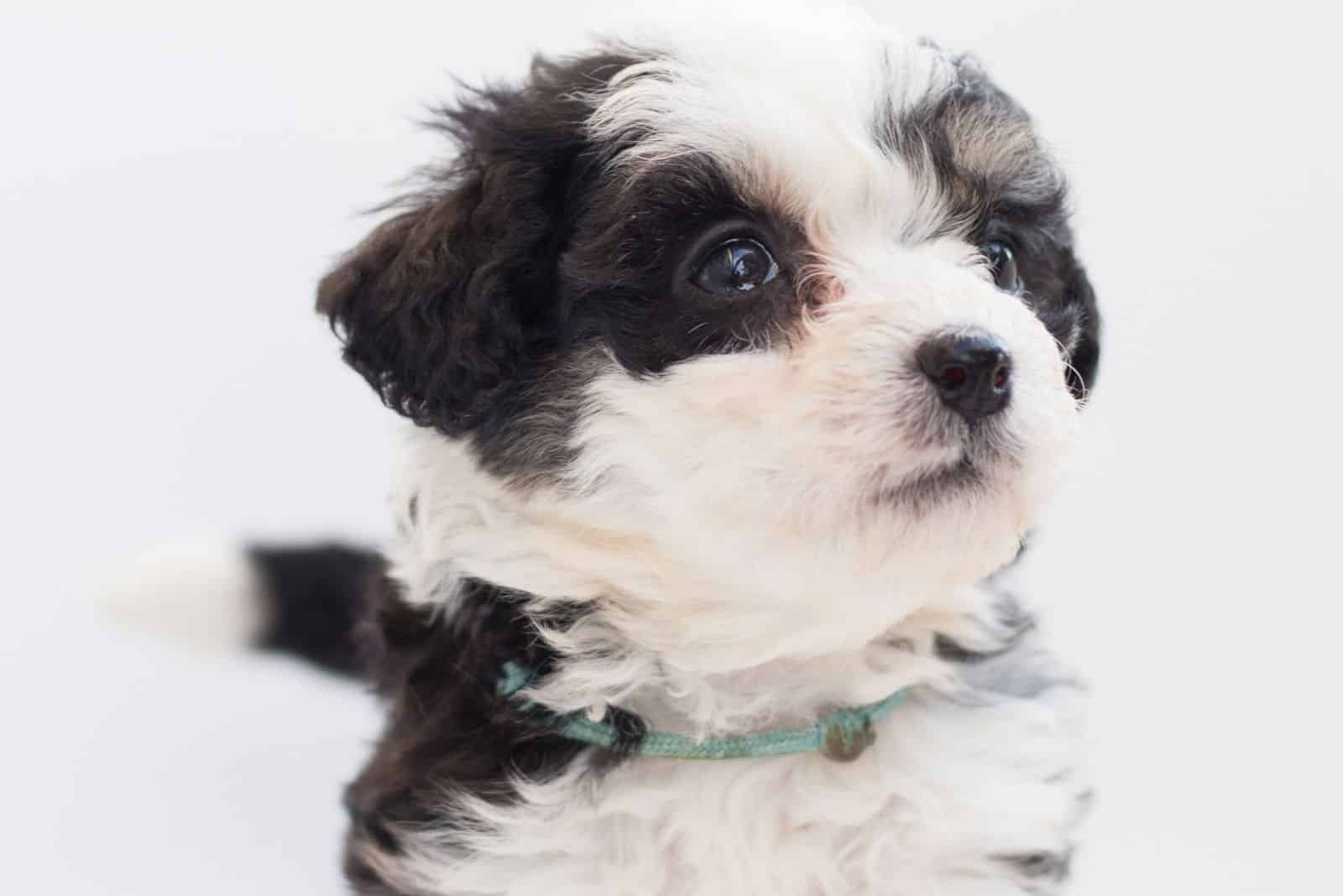 bernedoodle puppy standing in white background