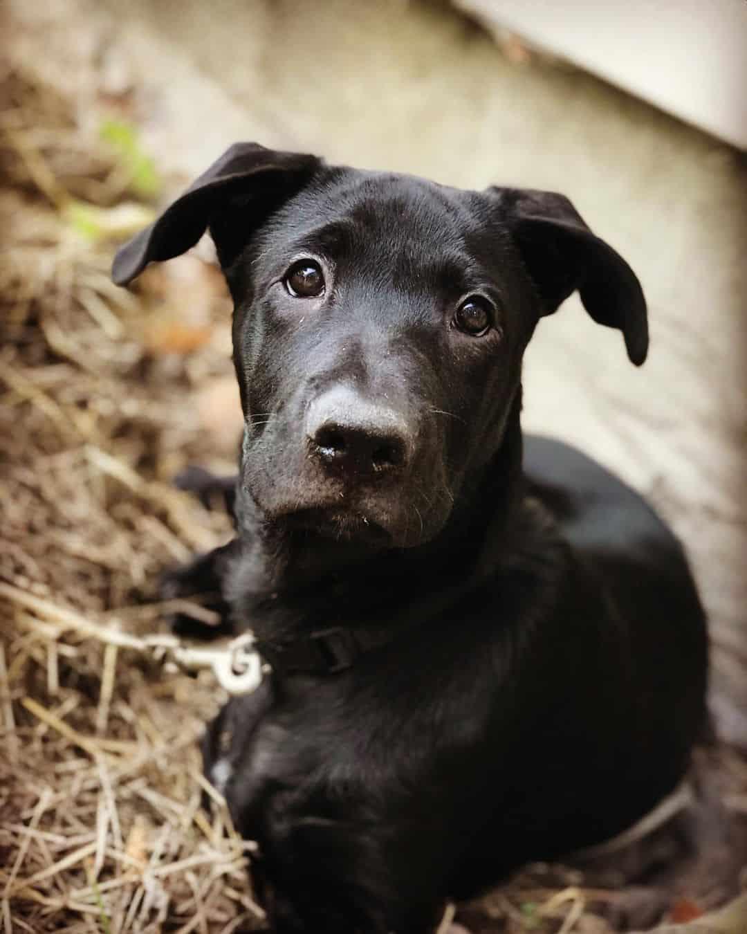 black German Shepherd Mastiff Mix