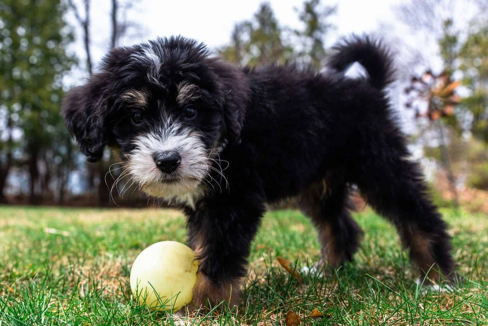 black and white bernedoodle puppy playing with ball outdoors
