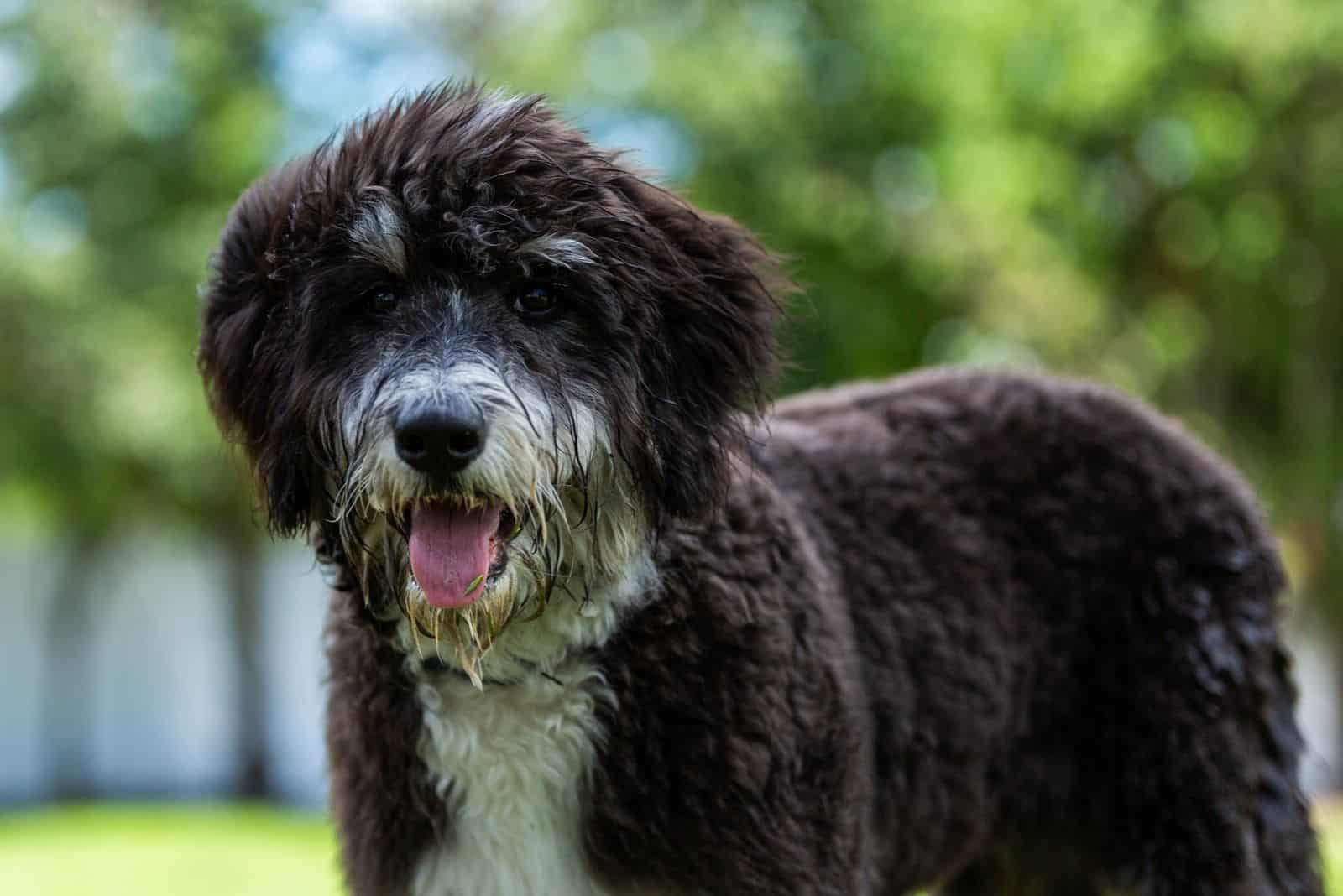 black and white bernedoodle puppy outdoors with mouth open