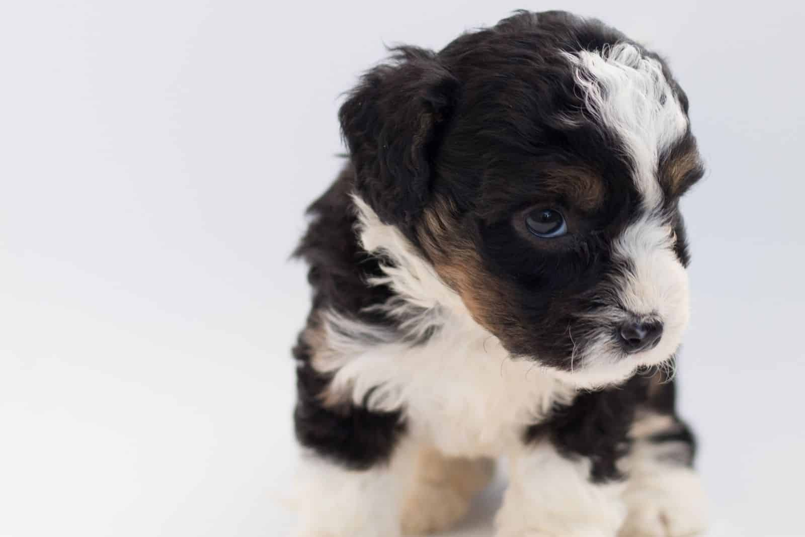 black and white bernedoodle puppy in white background