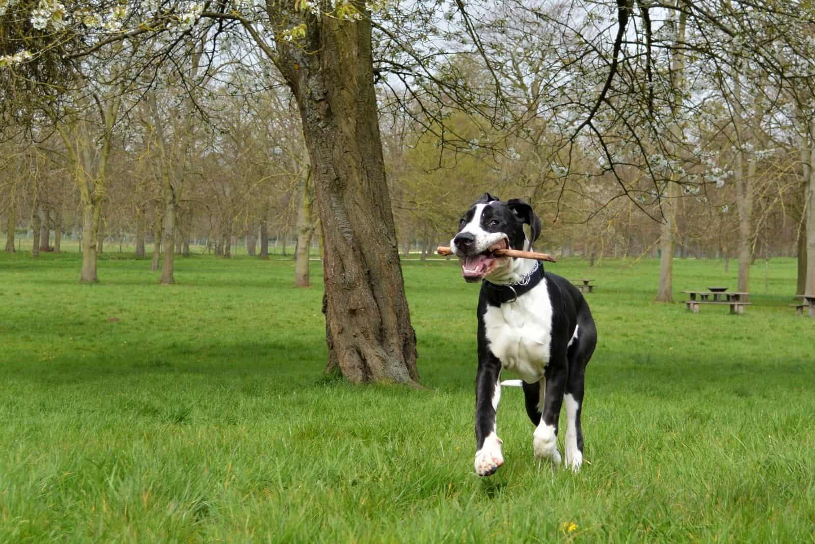 black and white young great dane mix outdoors under a tree