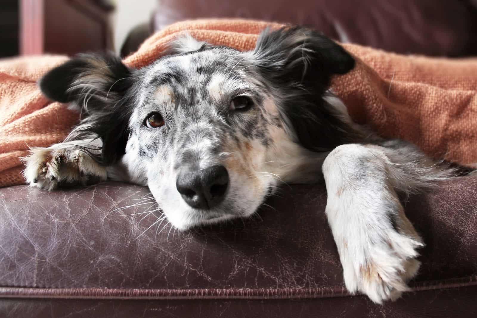 border collie aussie shepherd under a blanket