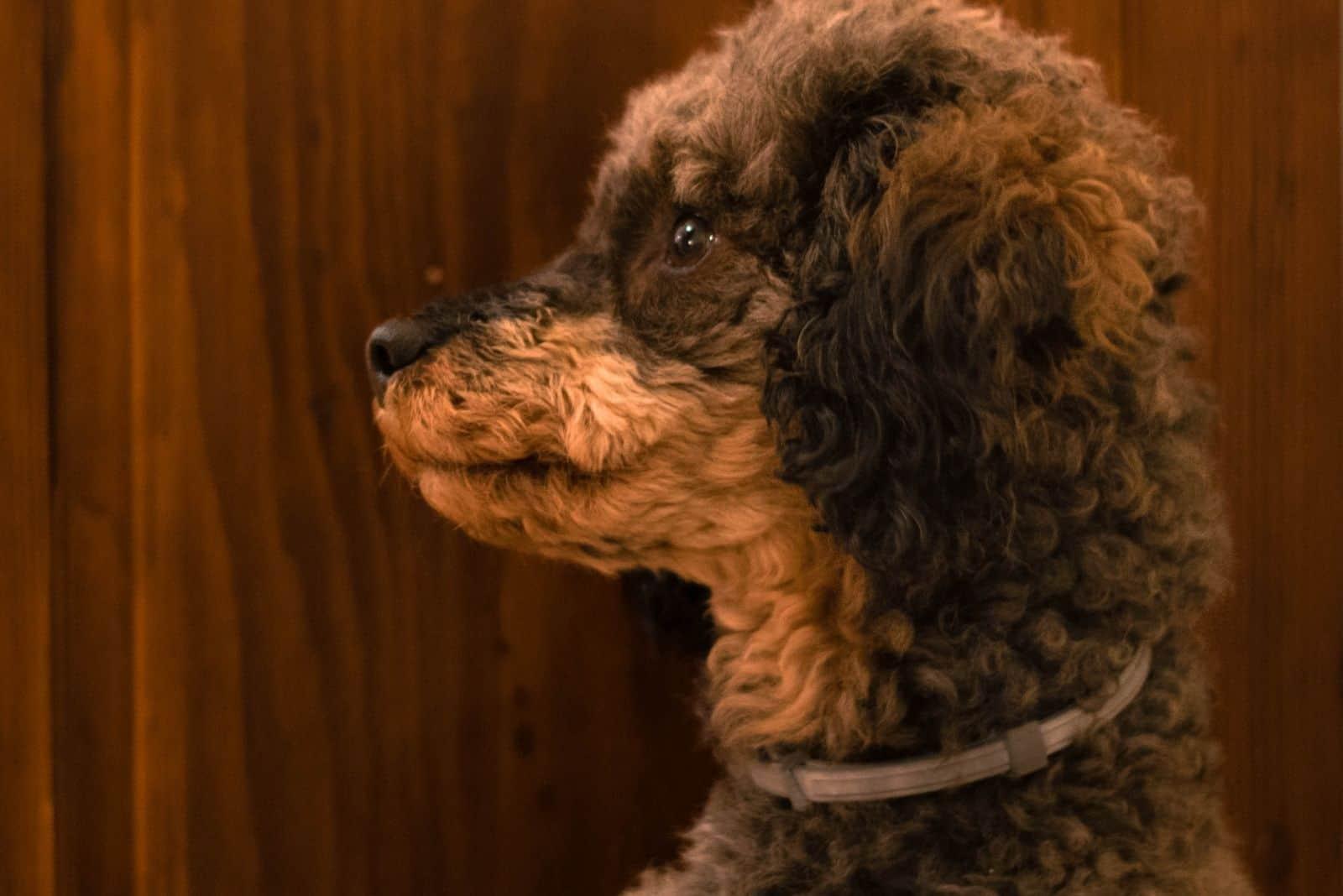brown sable phantom poodle in sideview