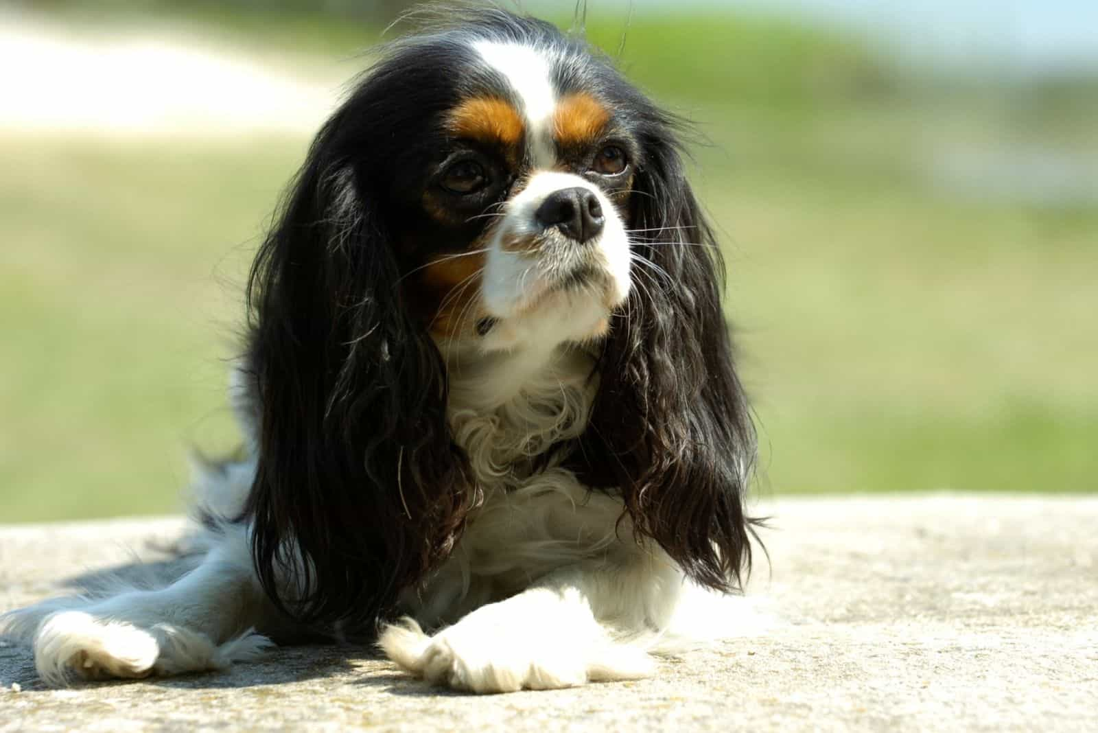 cavalier king charles spaniel resting outdoors