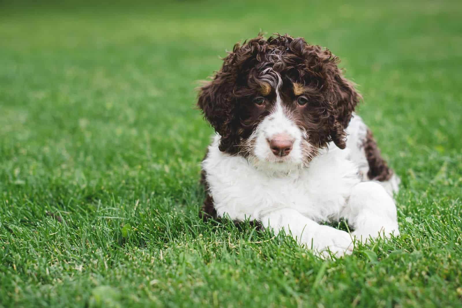 cute bernedoodle puppy lying down on the grass