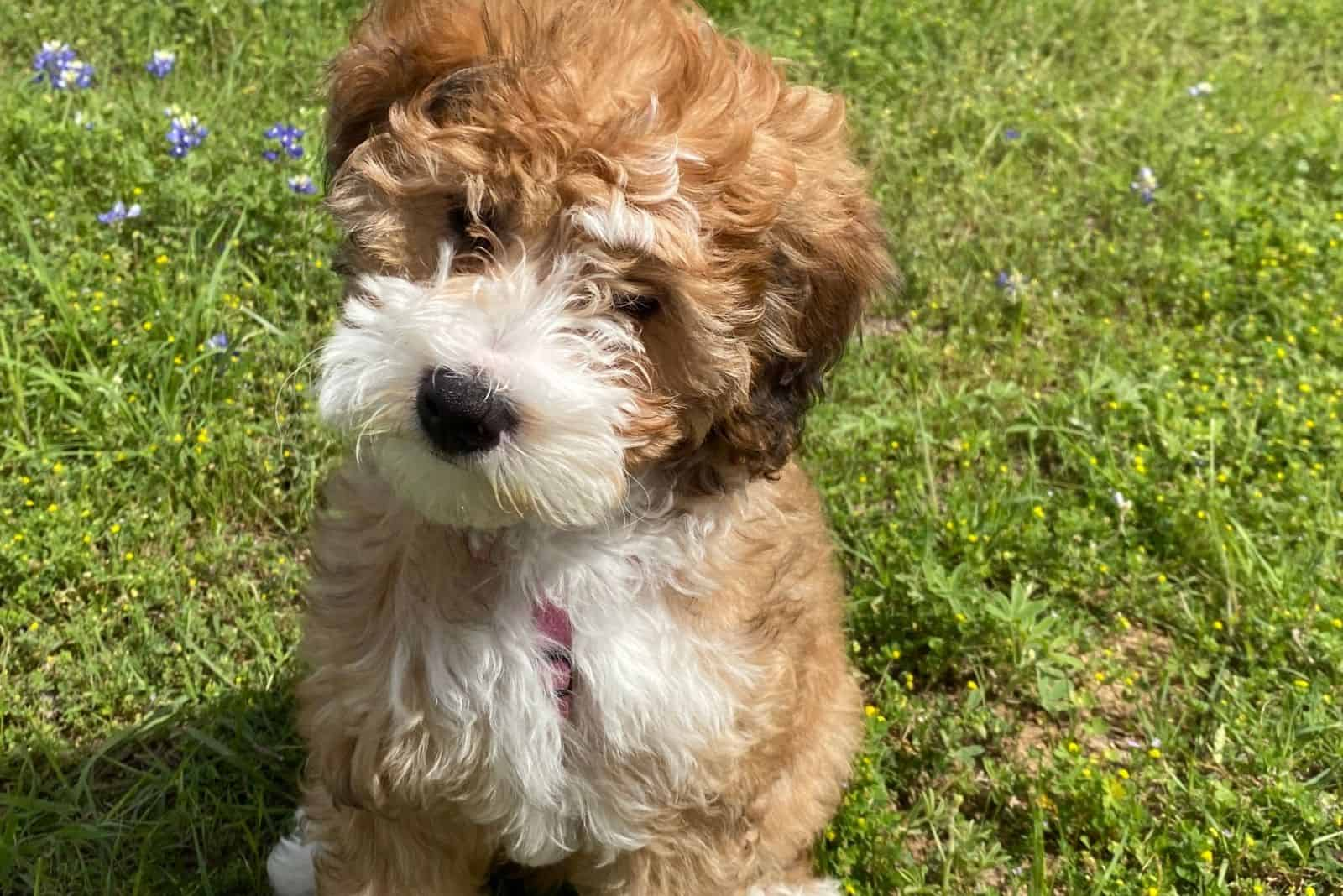 cute bernedoodle puppy standing outdoors