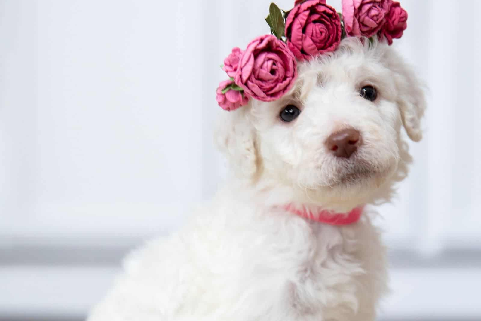 cute goldendoodle puppy with rose crown in the head