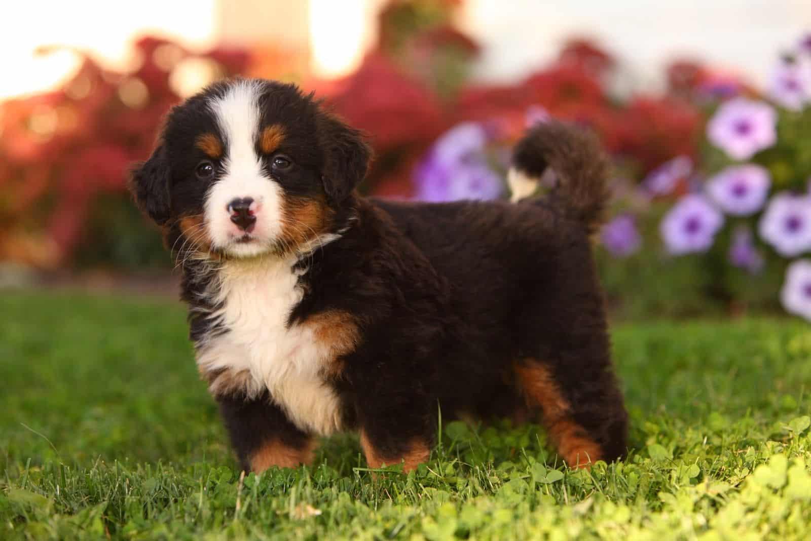 cute mini bernie puppy standing in the flower garden