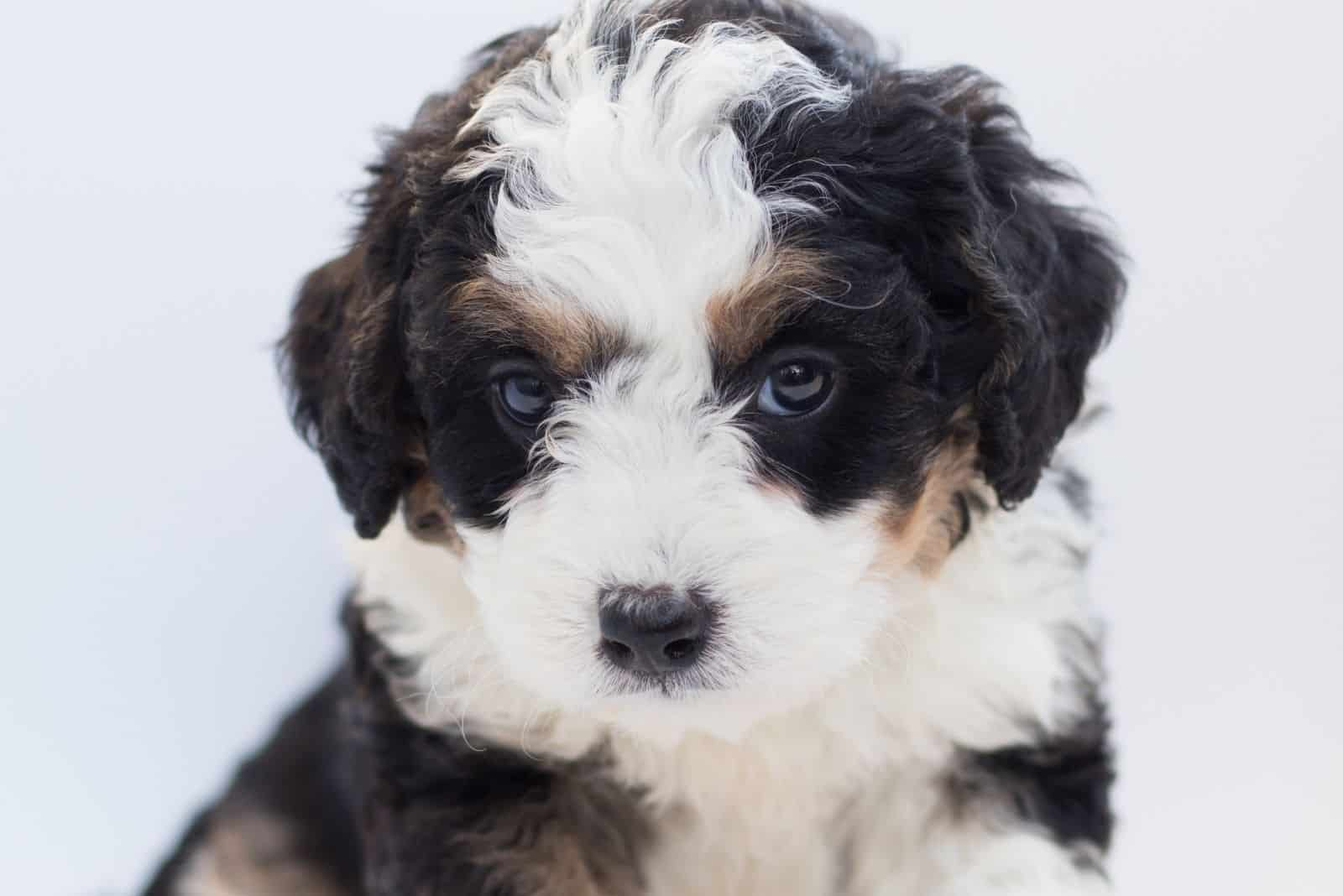cute tri color bernedoodle puppy against white background
