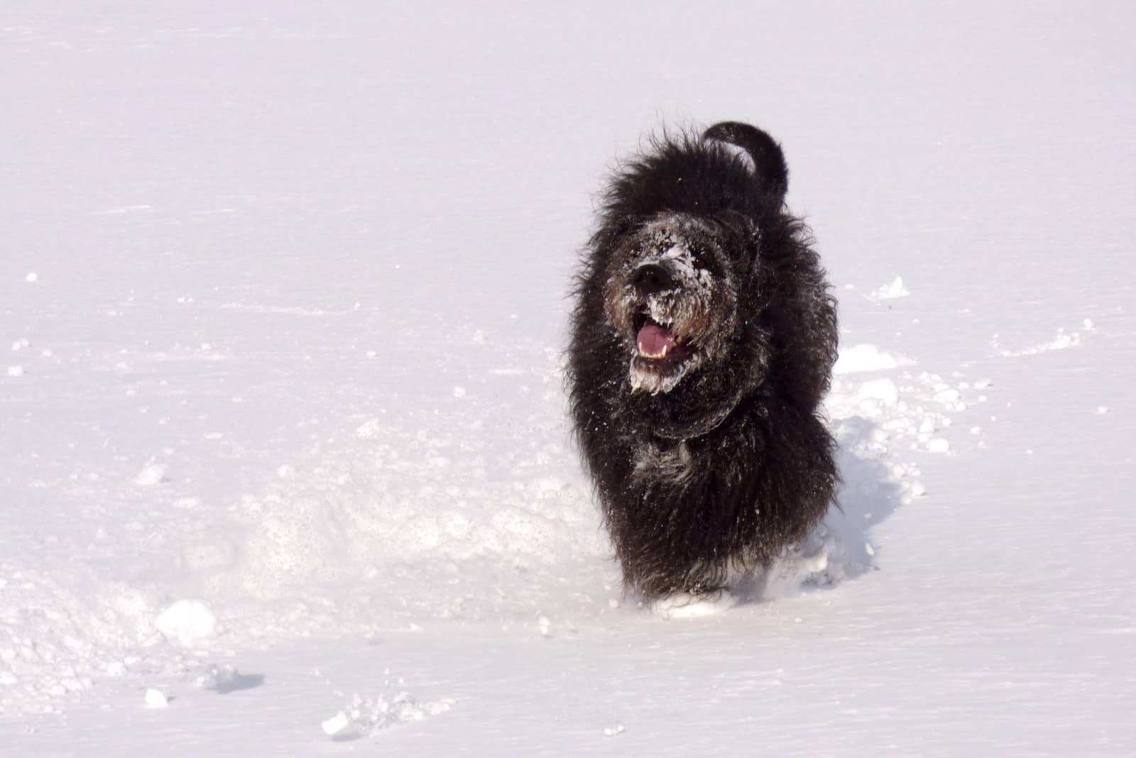 danoodle dog having fun in the snow