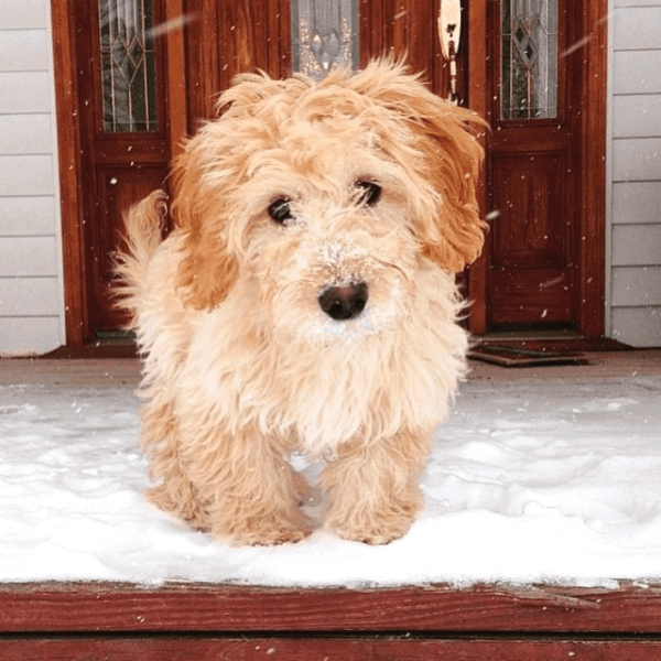 f1 Goldendoodle during winter