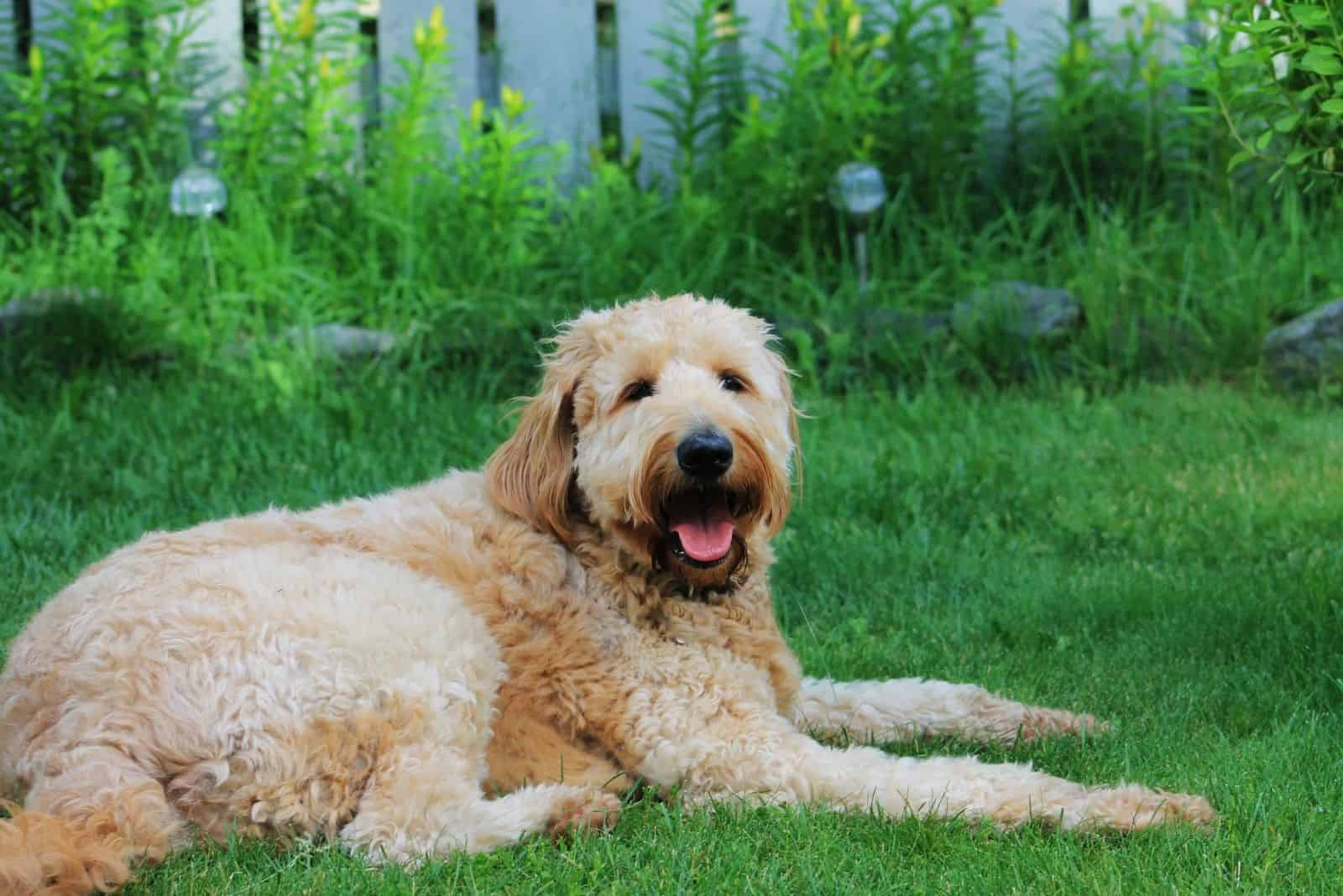 goldendoodle dog outdoors sitting and relaxing looking at the camera