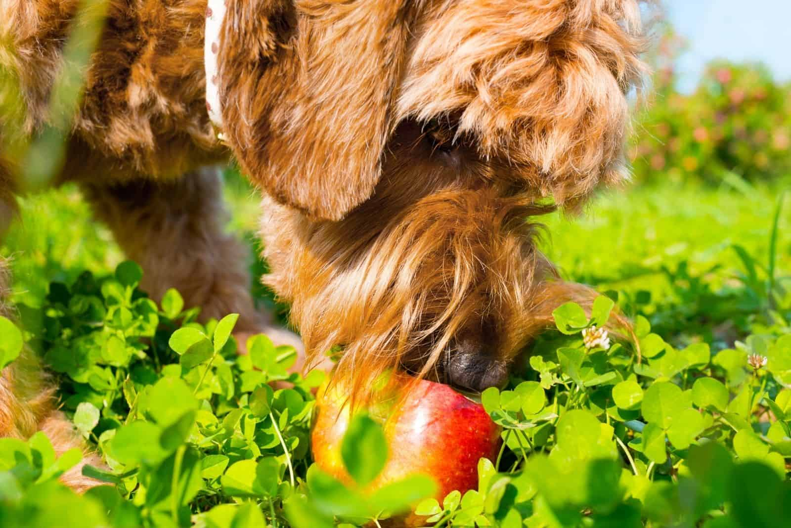 goldendoodle eating fruit outdoors in focus photography