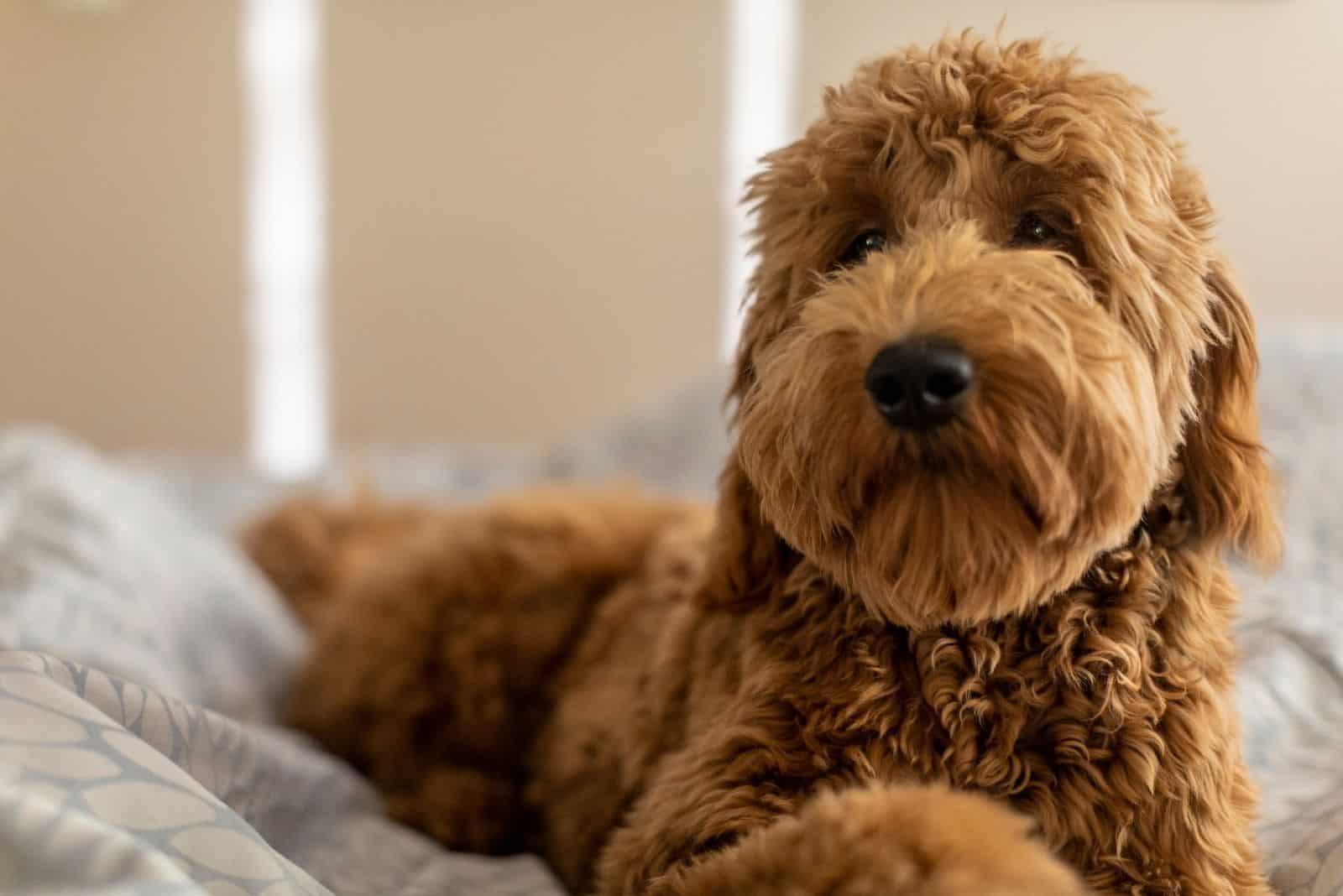 goldendoodle portrait lying down in bed inside bedroom