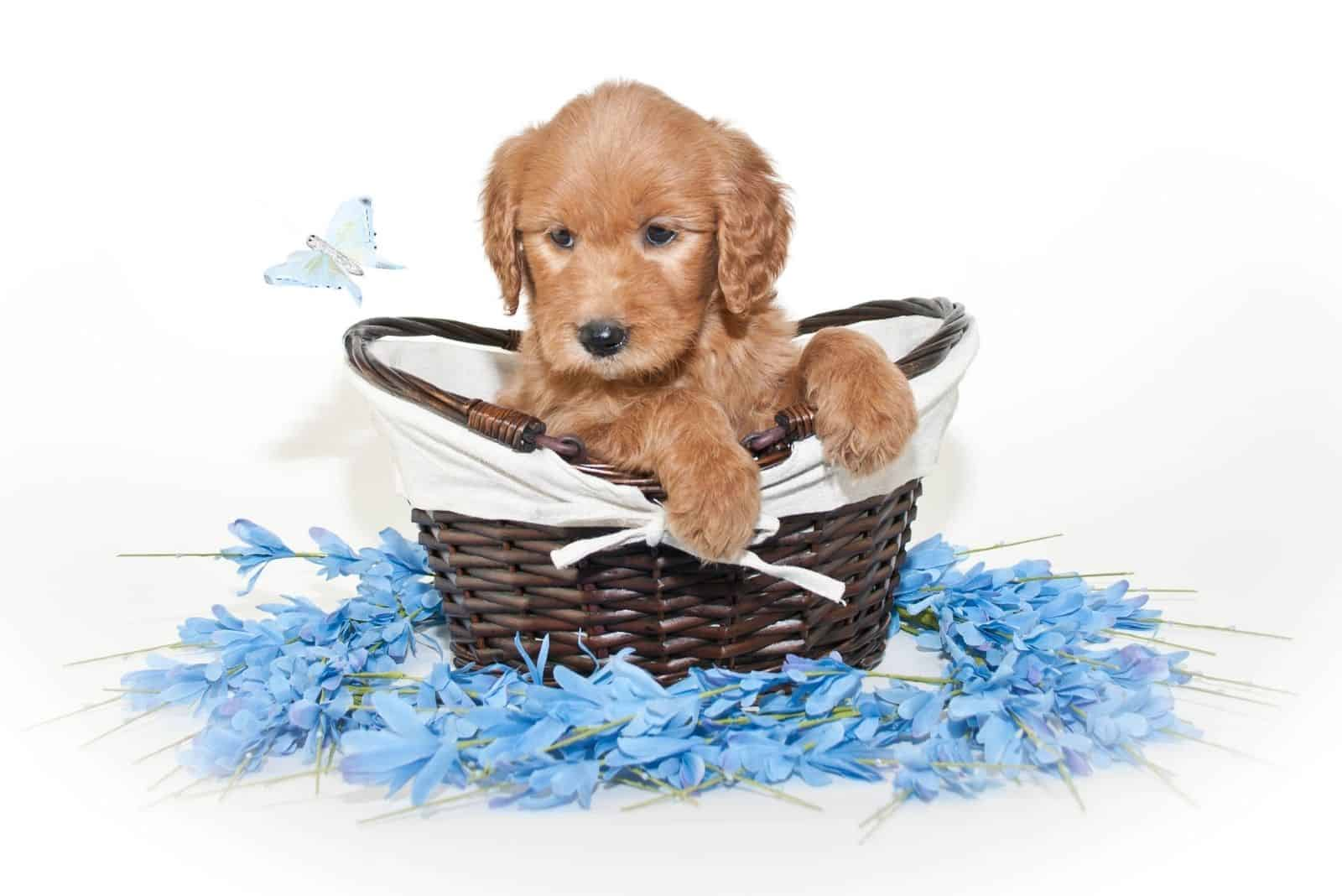 goldendoodle puppy inside a basket with blue flowers around in white background
