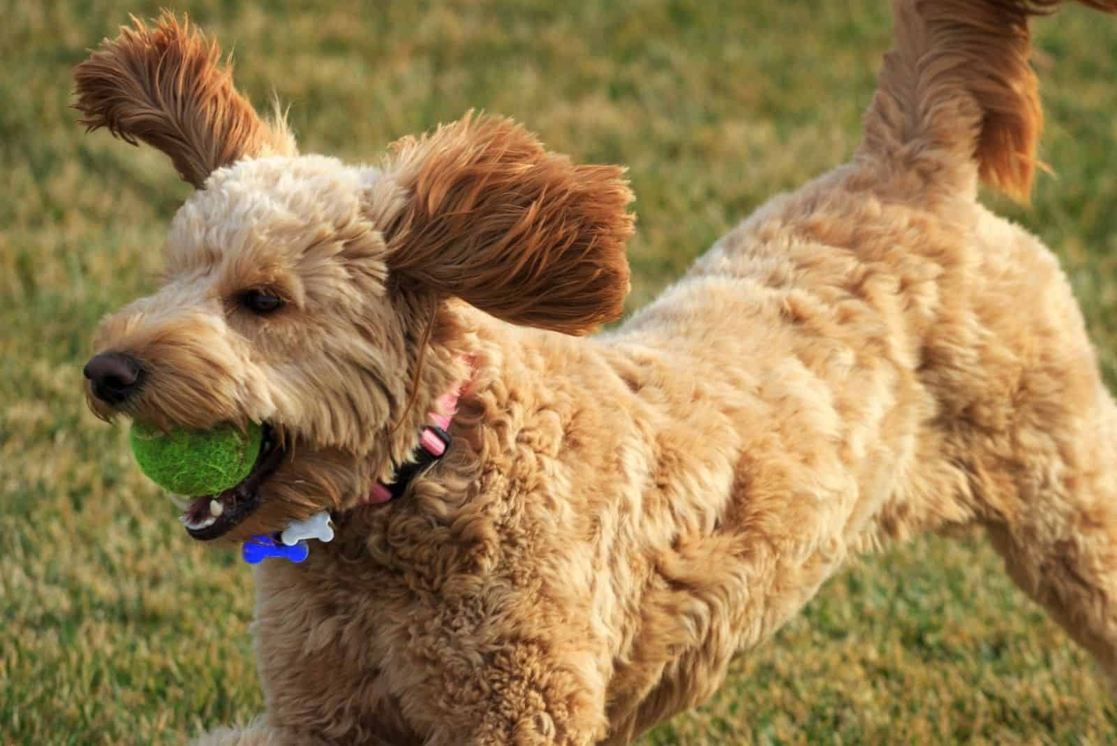 goldendoodle with ball in the mouth playing