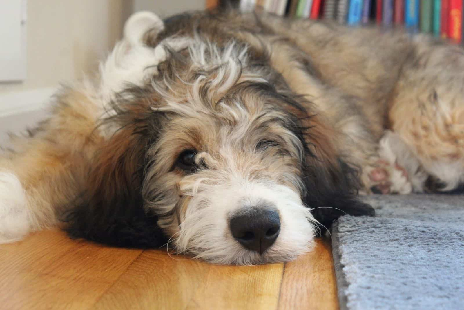 mini bernedoodle winking while lying down on the floor