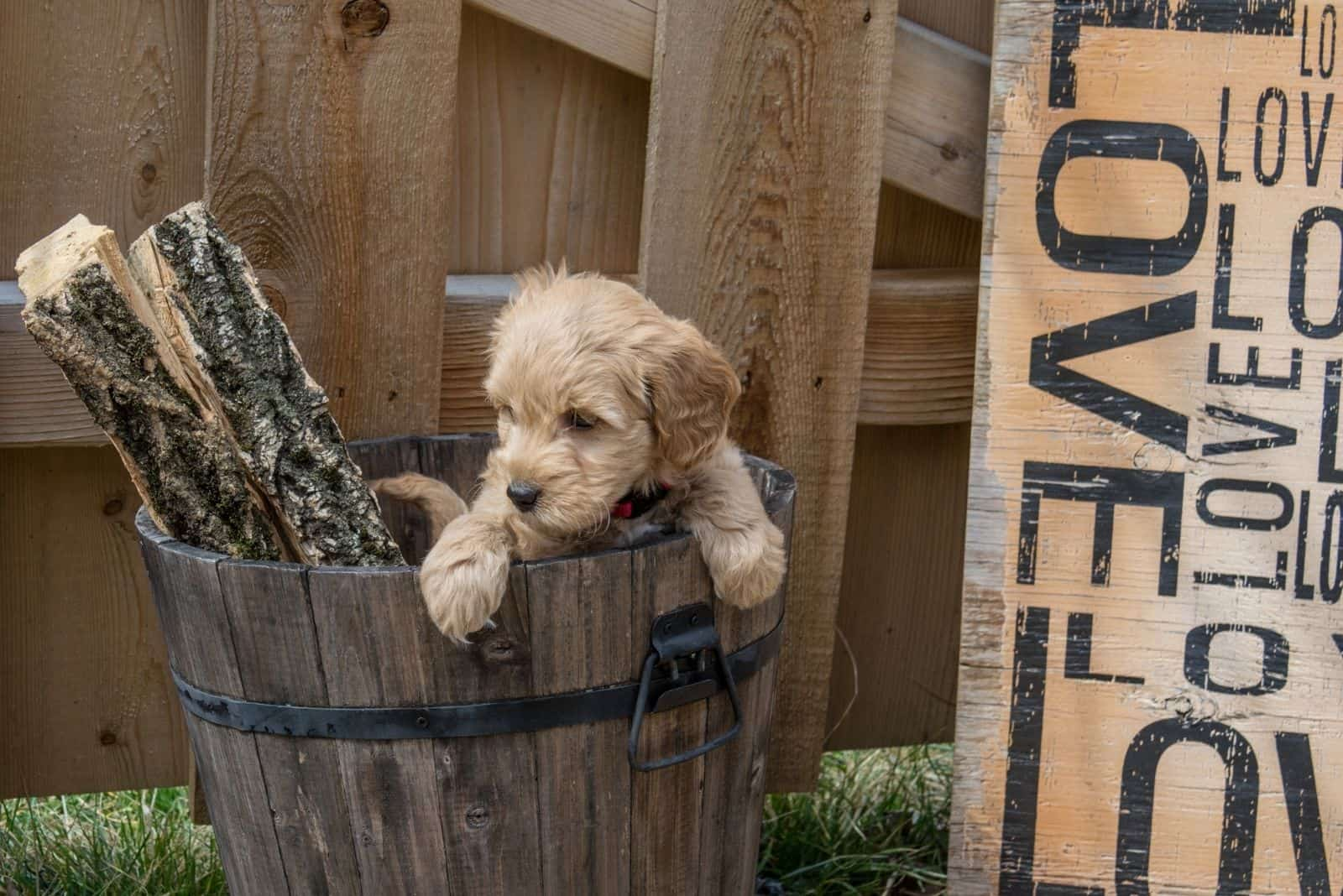 mini goldendoodle puppy inside the wooden container outdoors