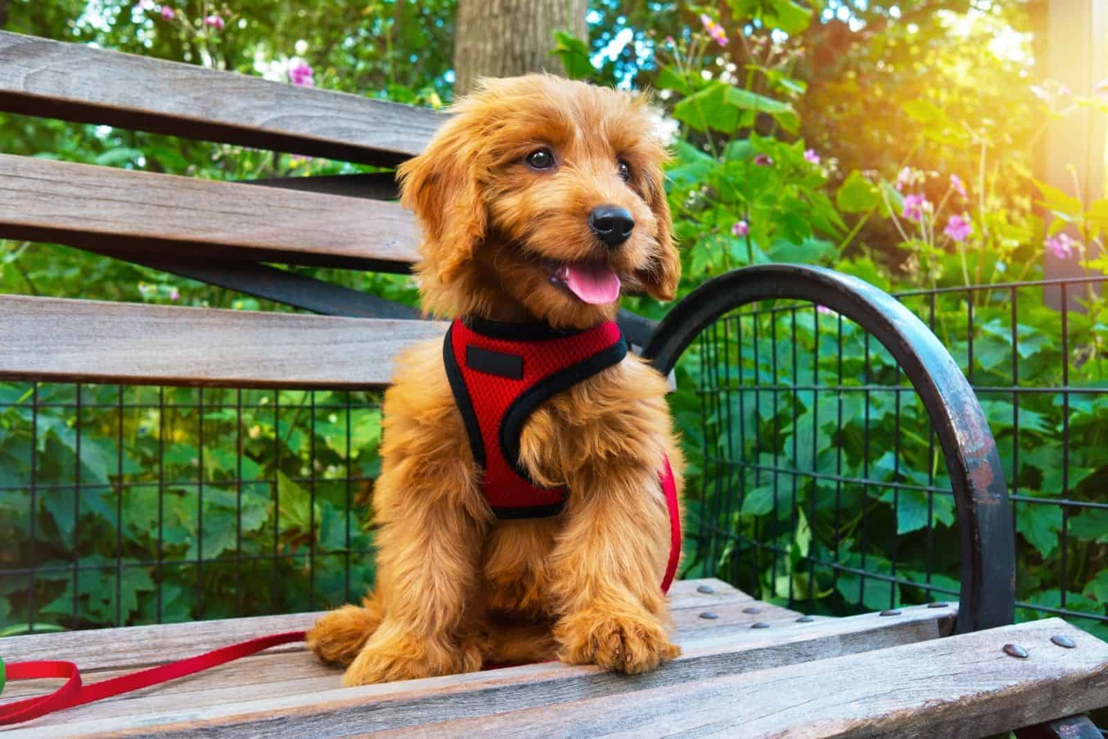 miniature goldendoodle sitting in the bench outdoors