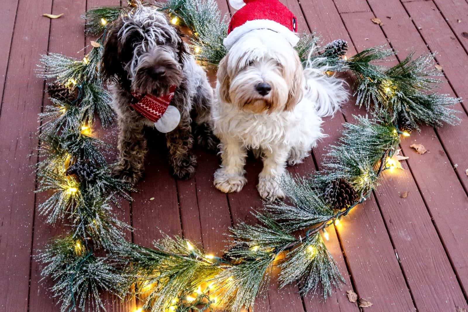 pair of hypoallergenic dogs in christmas hats and wreath around in heart shape