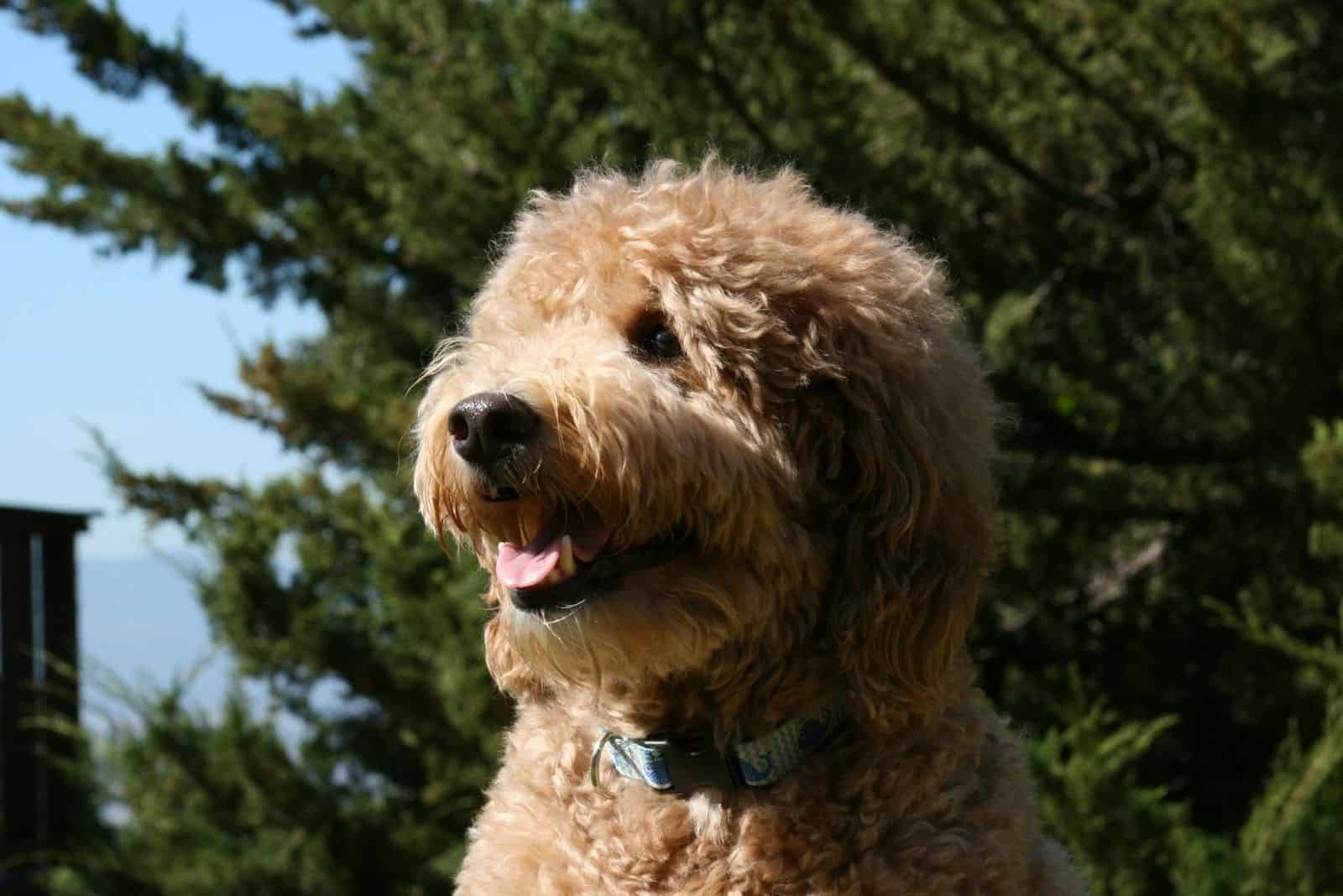 panting goldendoodle standing outdoors