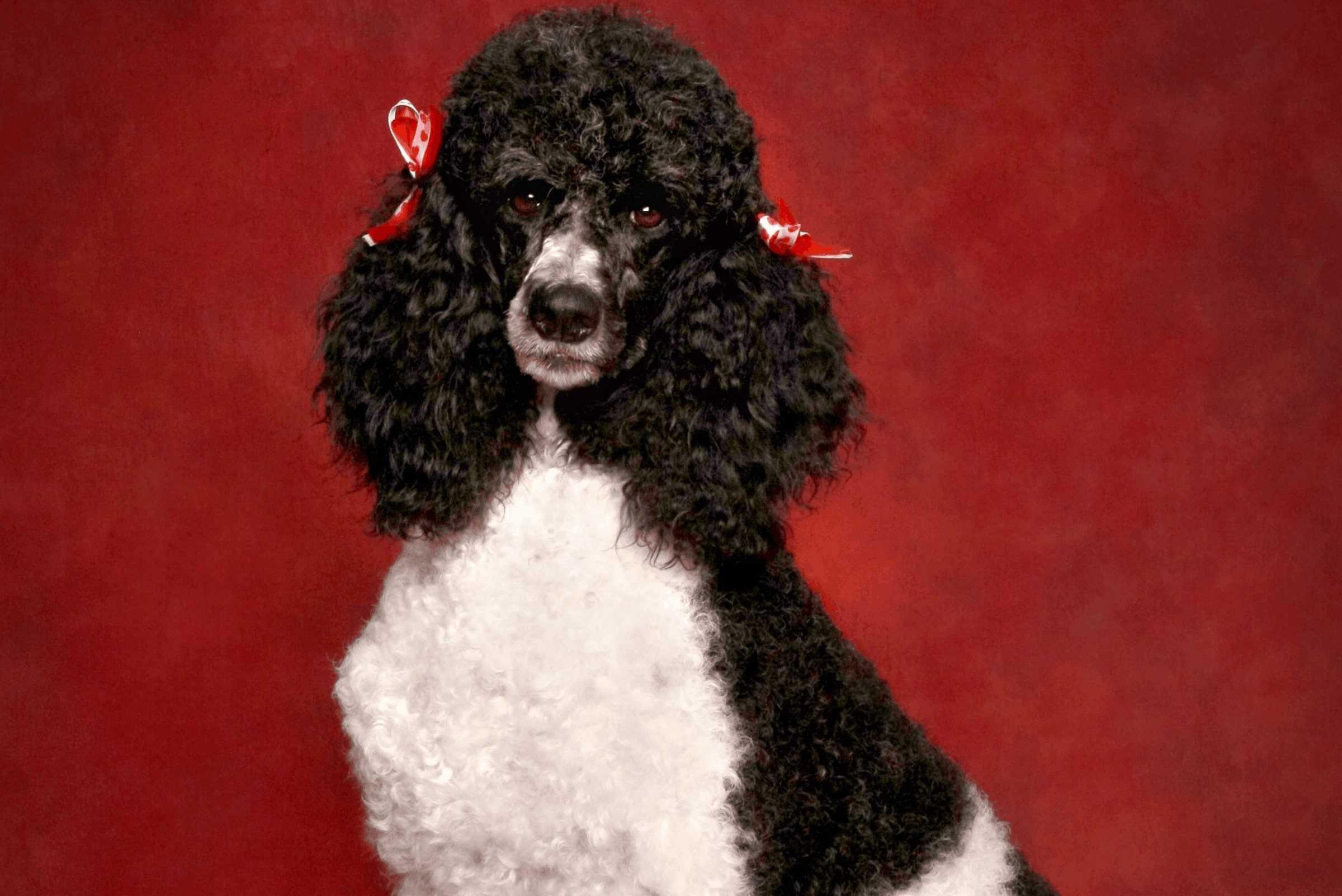 parti colored poodle