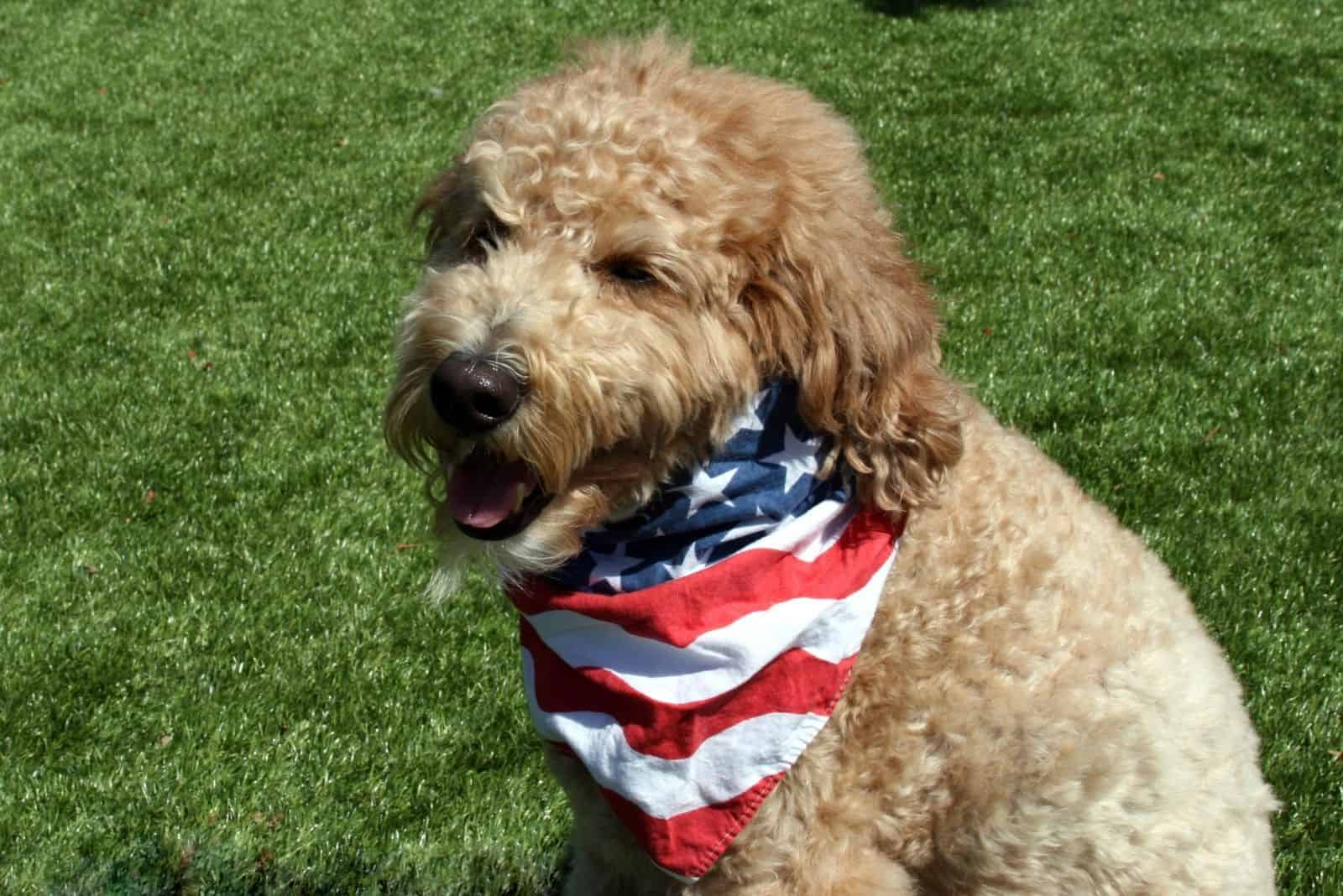 patriotic goldendoodle dog with a US flag around her neck