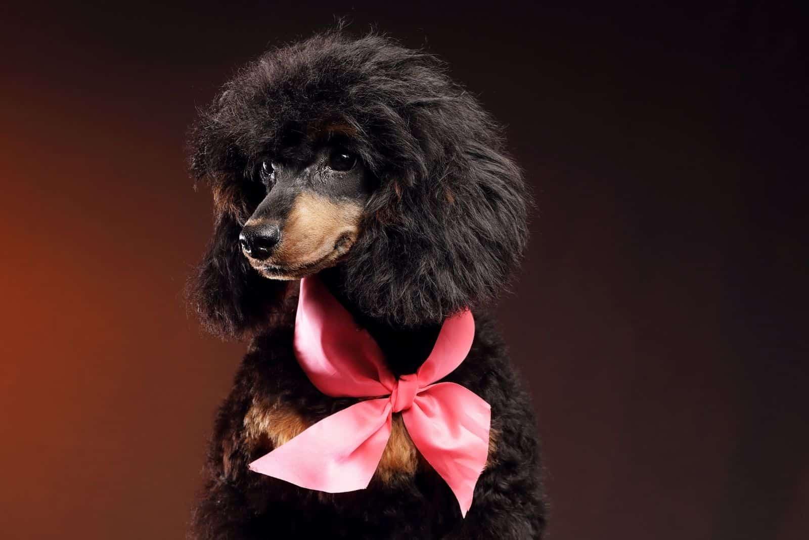 phantom black poodle standing in the dark