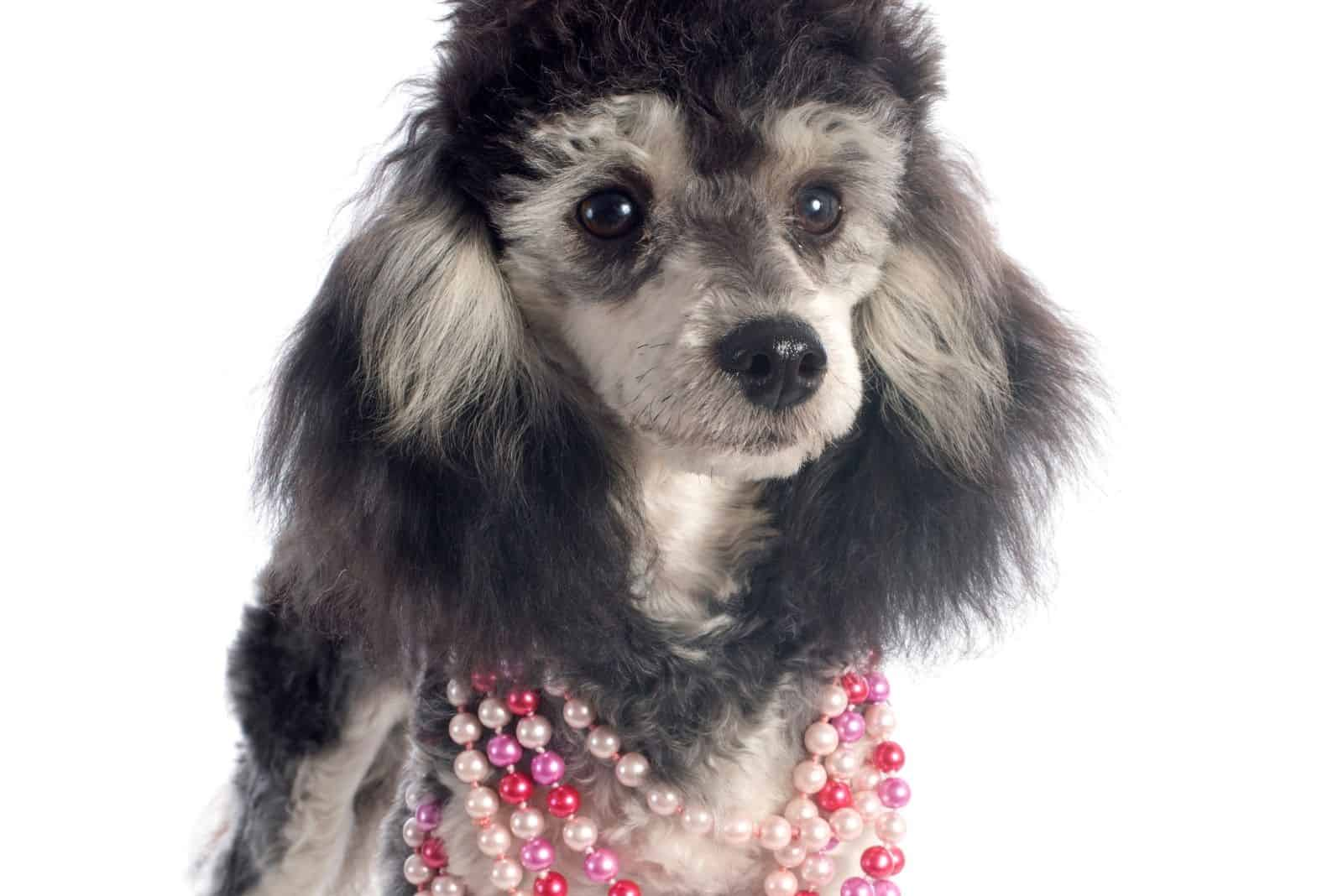 phantom poodle dog adorned with necklace standing in white background
