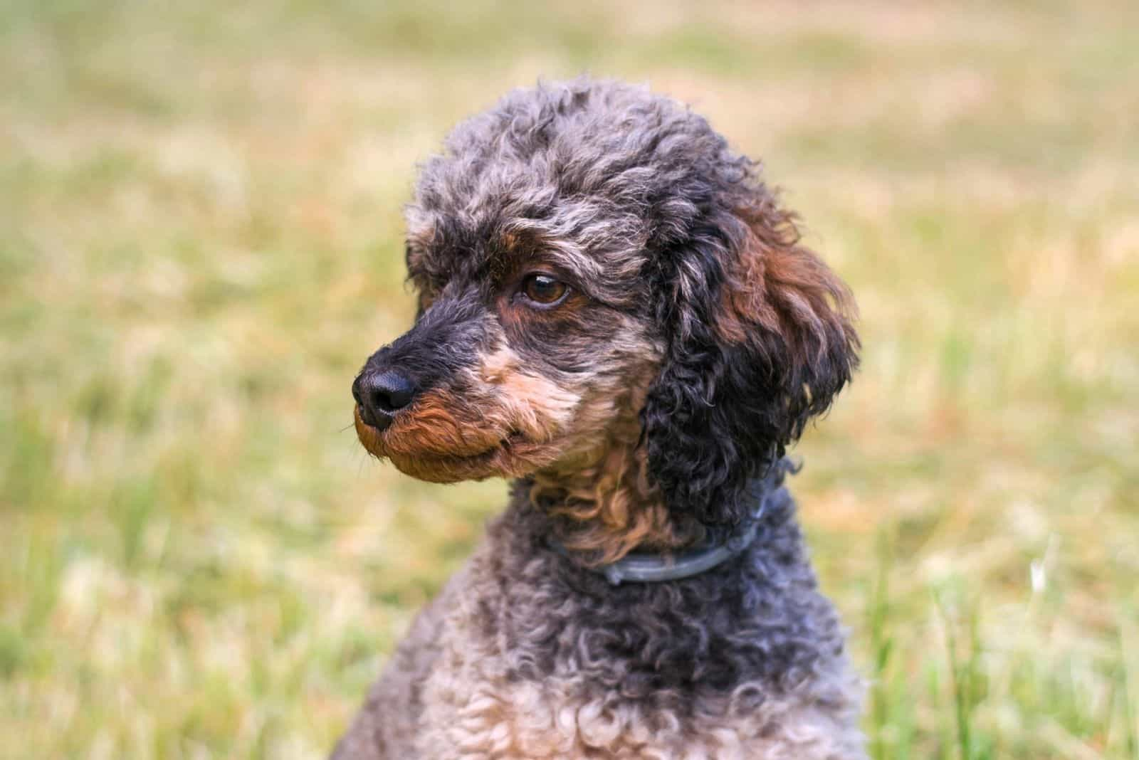 phantom poodle puppy standing outdoors