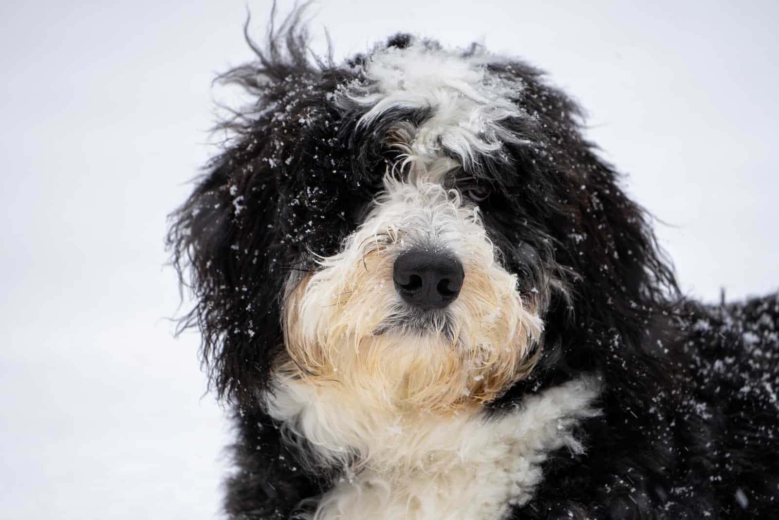 portrait of Bernedoodle in the snow