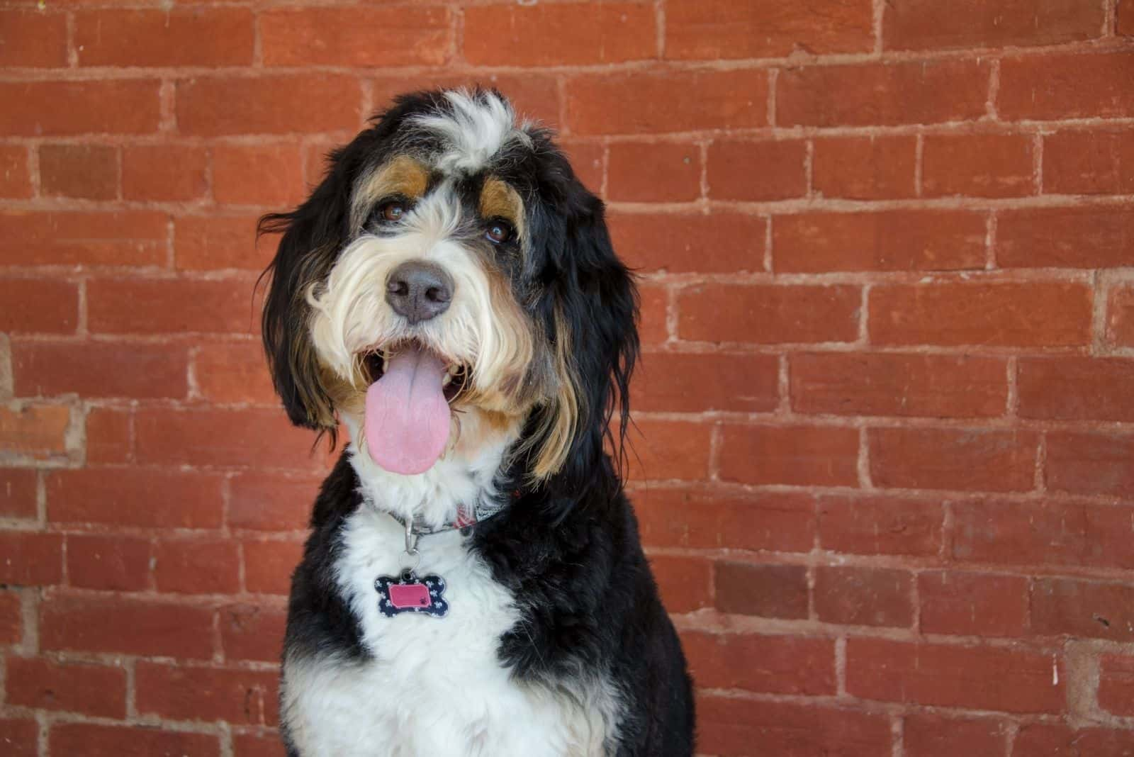 portrait of a bernedoodle standing against brick wall