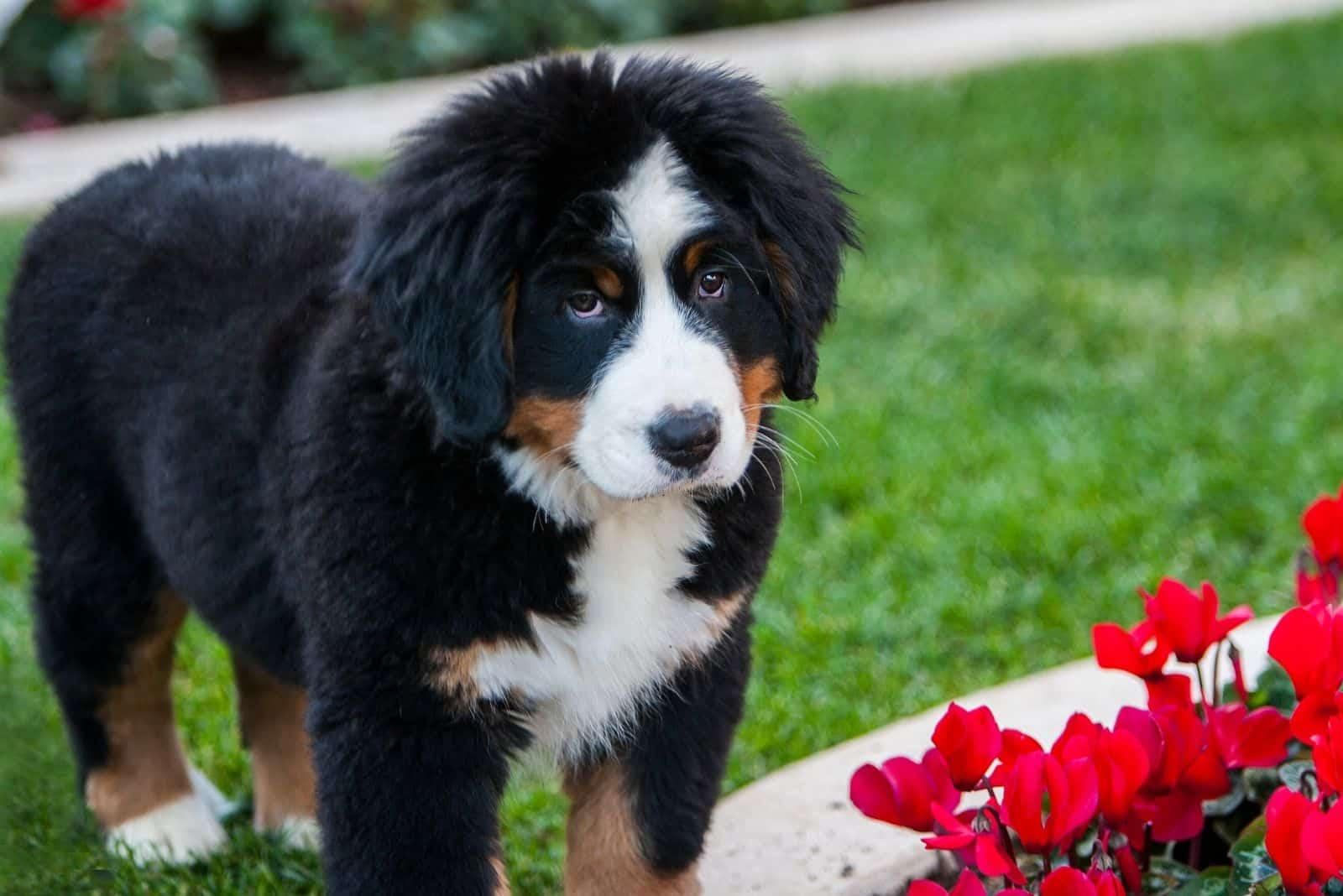 puppy of a bernese mountain dog near a red flower garden