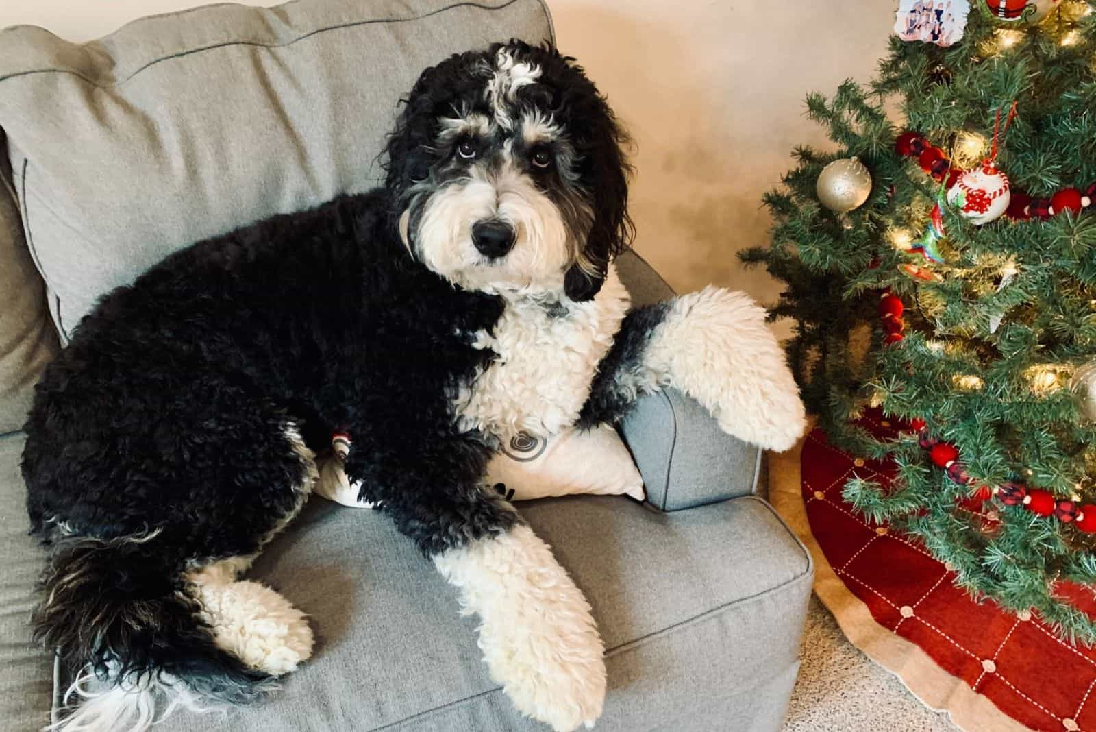 relaxing bernedoodle sitting on the couch beside a christmas tree