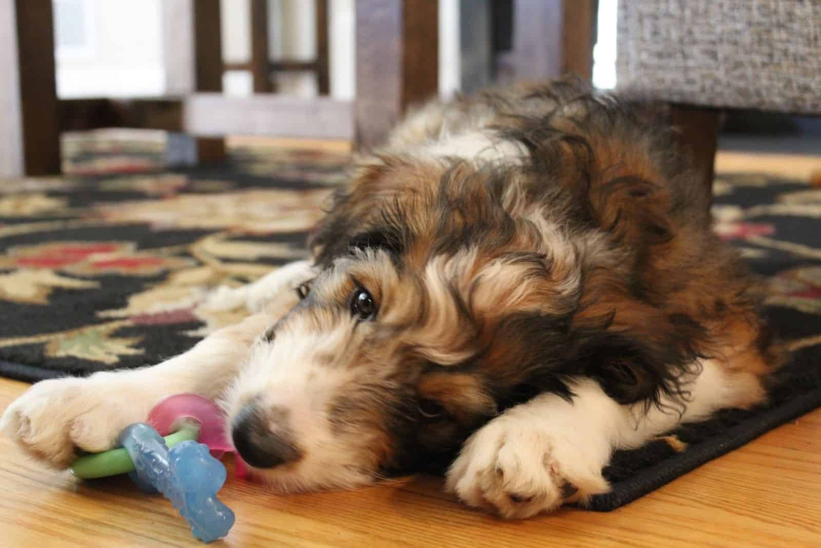 sable bernedoodle puppy playing with toy inside home