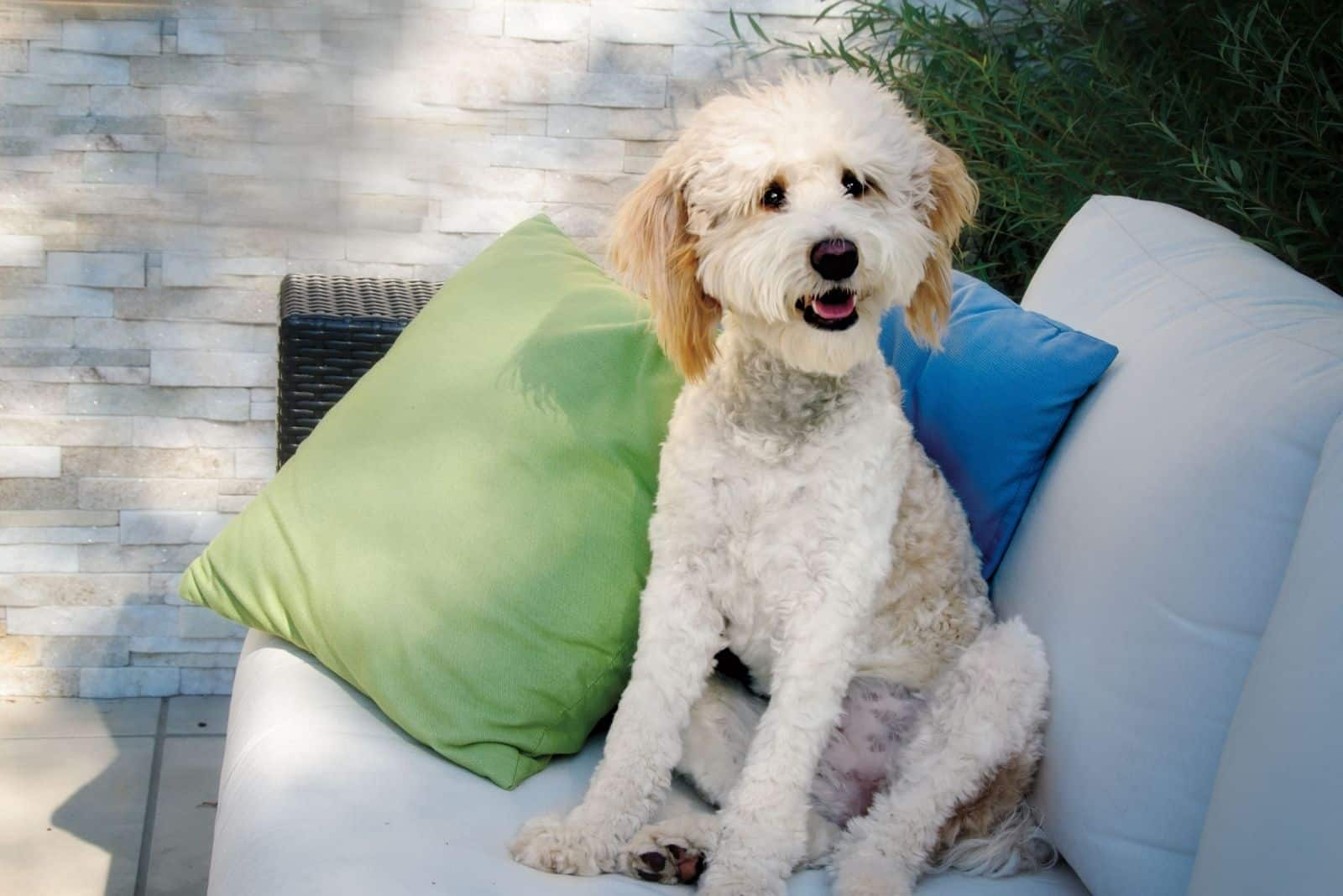shaved bernedoodle sitting on the couch outdoors