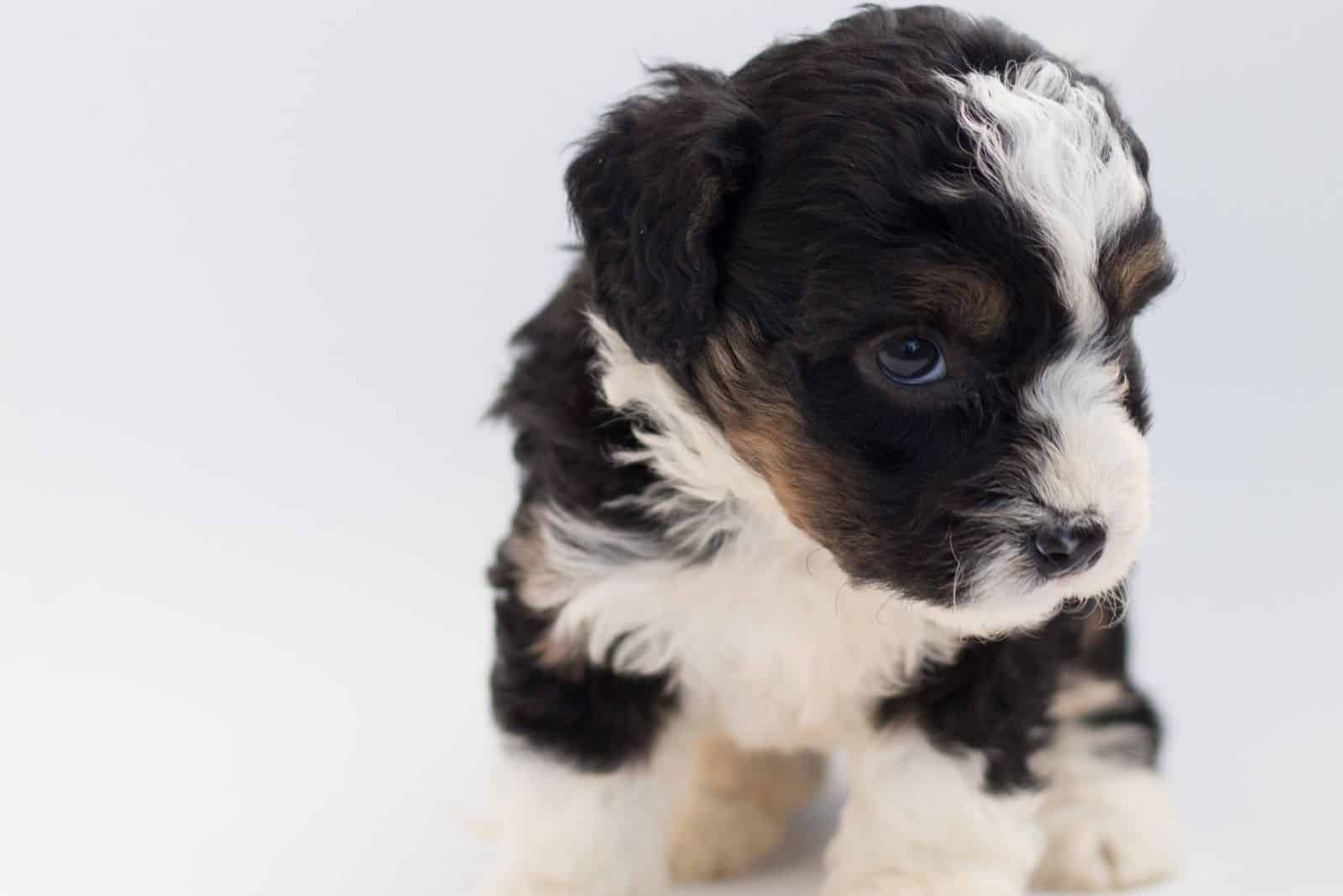 short coated puppy in the white background