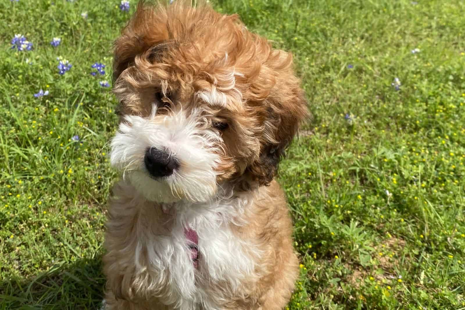 tan mini bernedoodle puppy outdoors standing