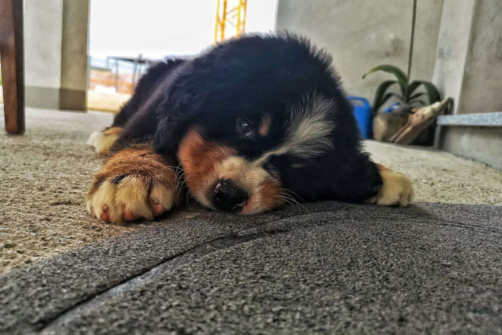 tired bernese mountain dog lying down on the carpet indoors