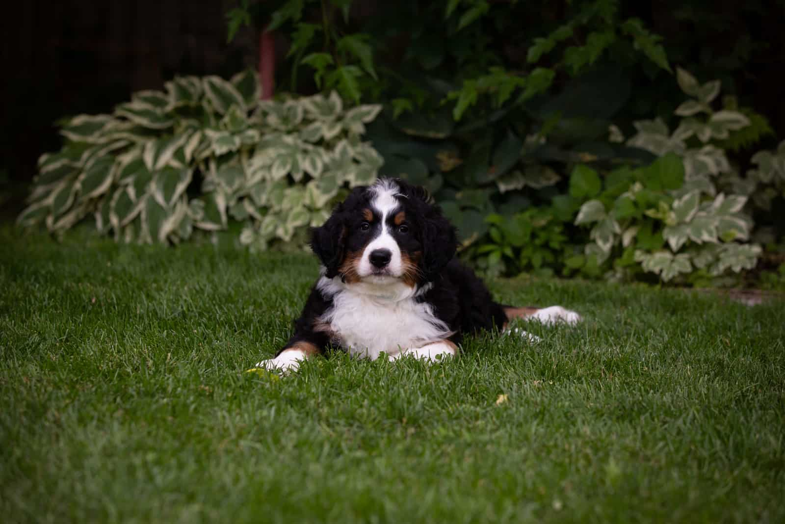 tricolor Bernedoodle lies on the grass