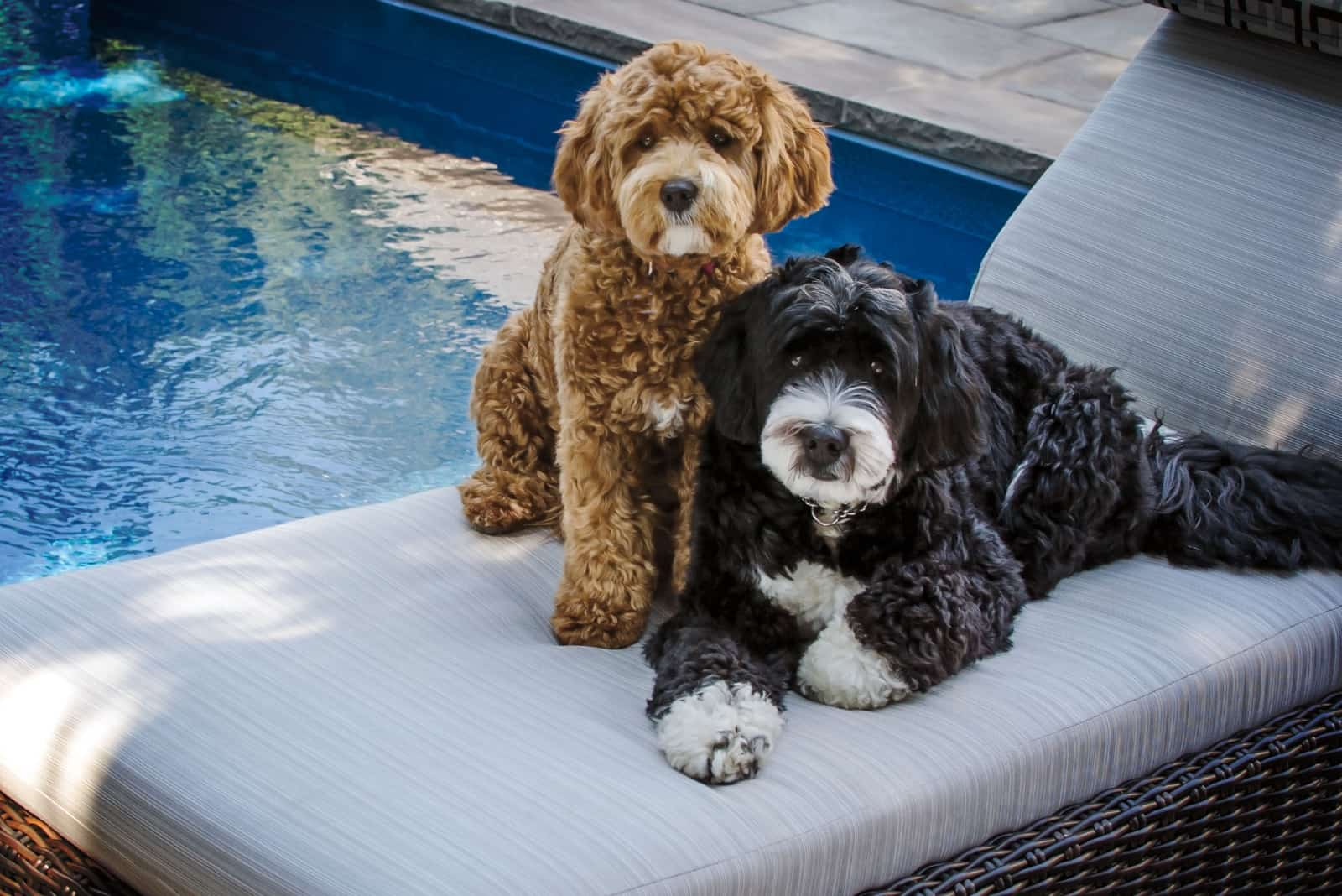 two bernadoodles sit on a lounger by the pool