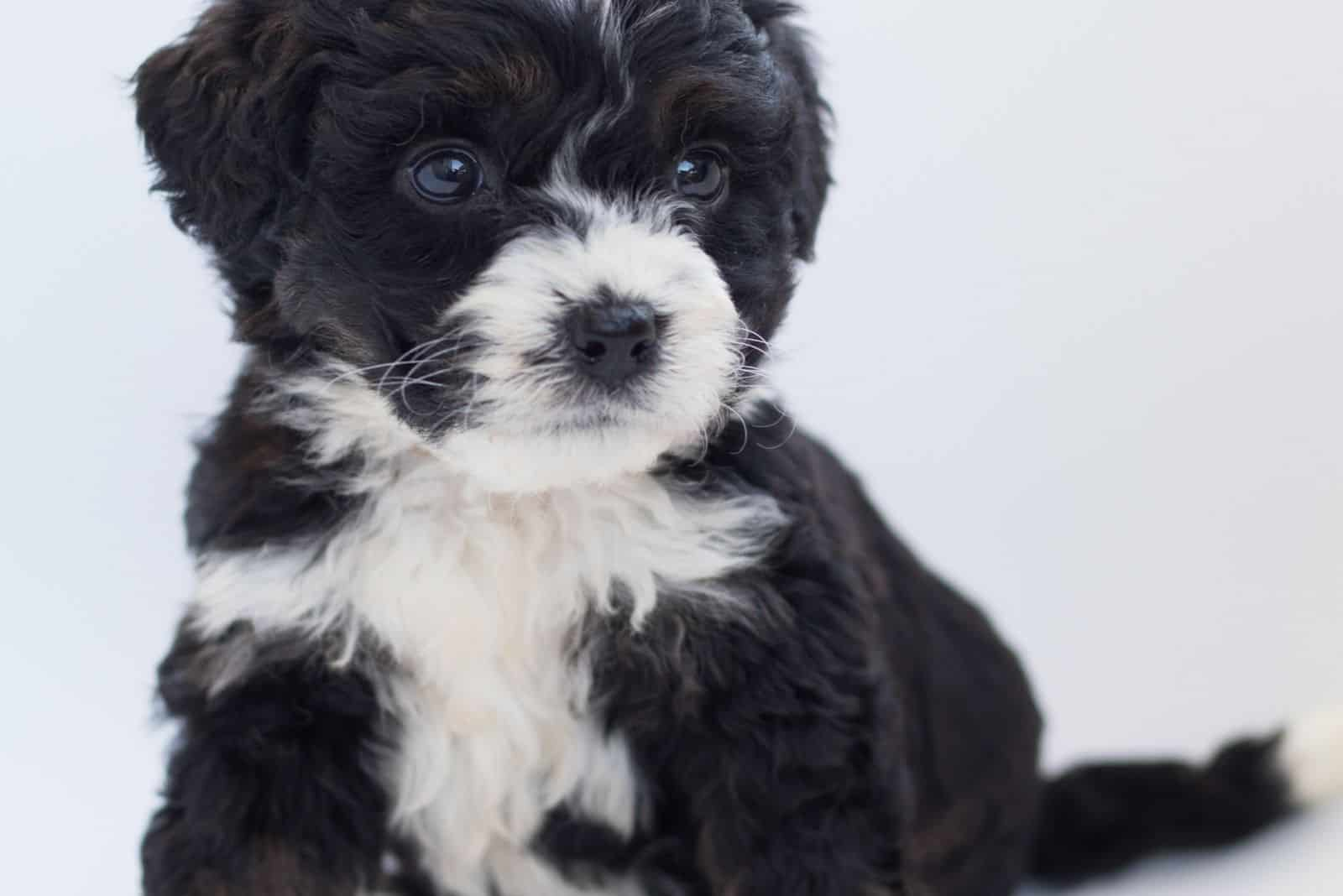 two colored bernedoodle sitting against the white background