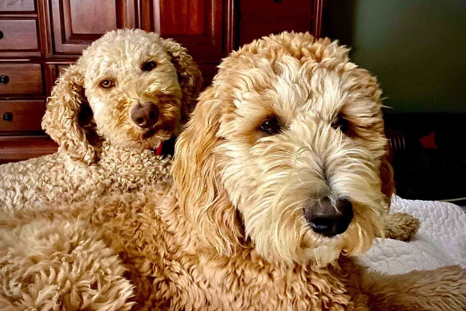 two goldendoodle puppies relaxing indoors