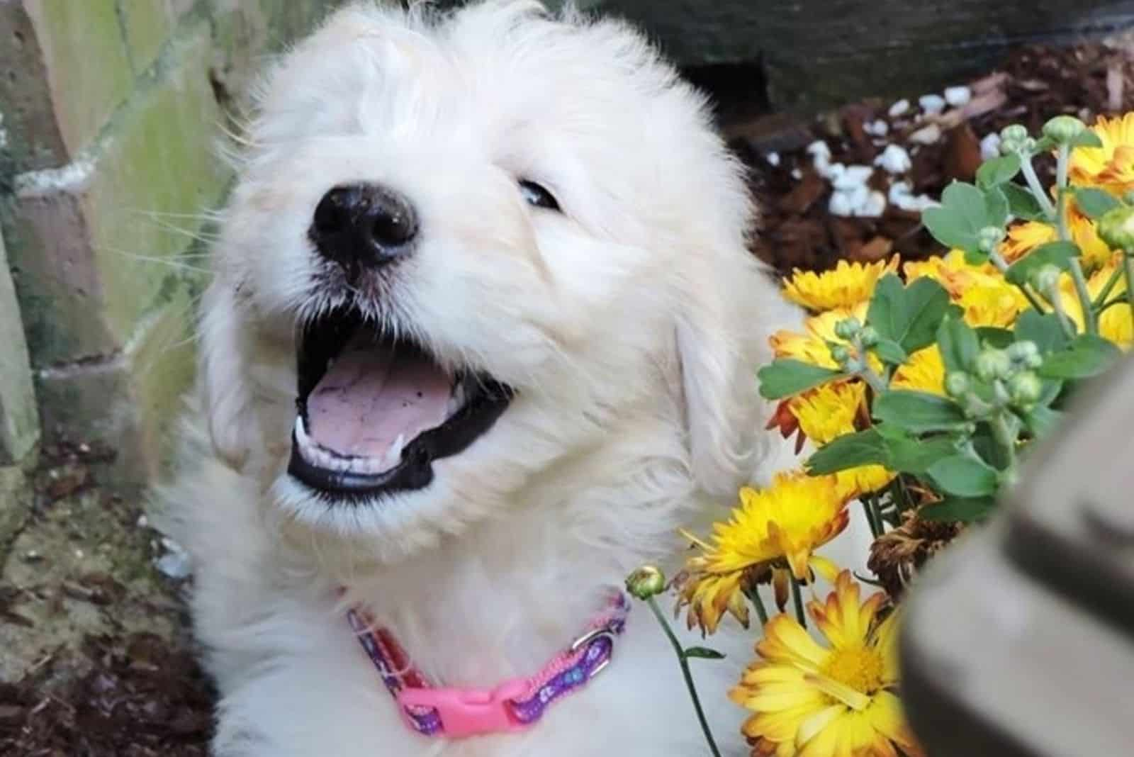 very cute goldendoodle happy sitting beside a flower