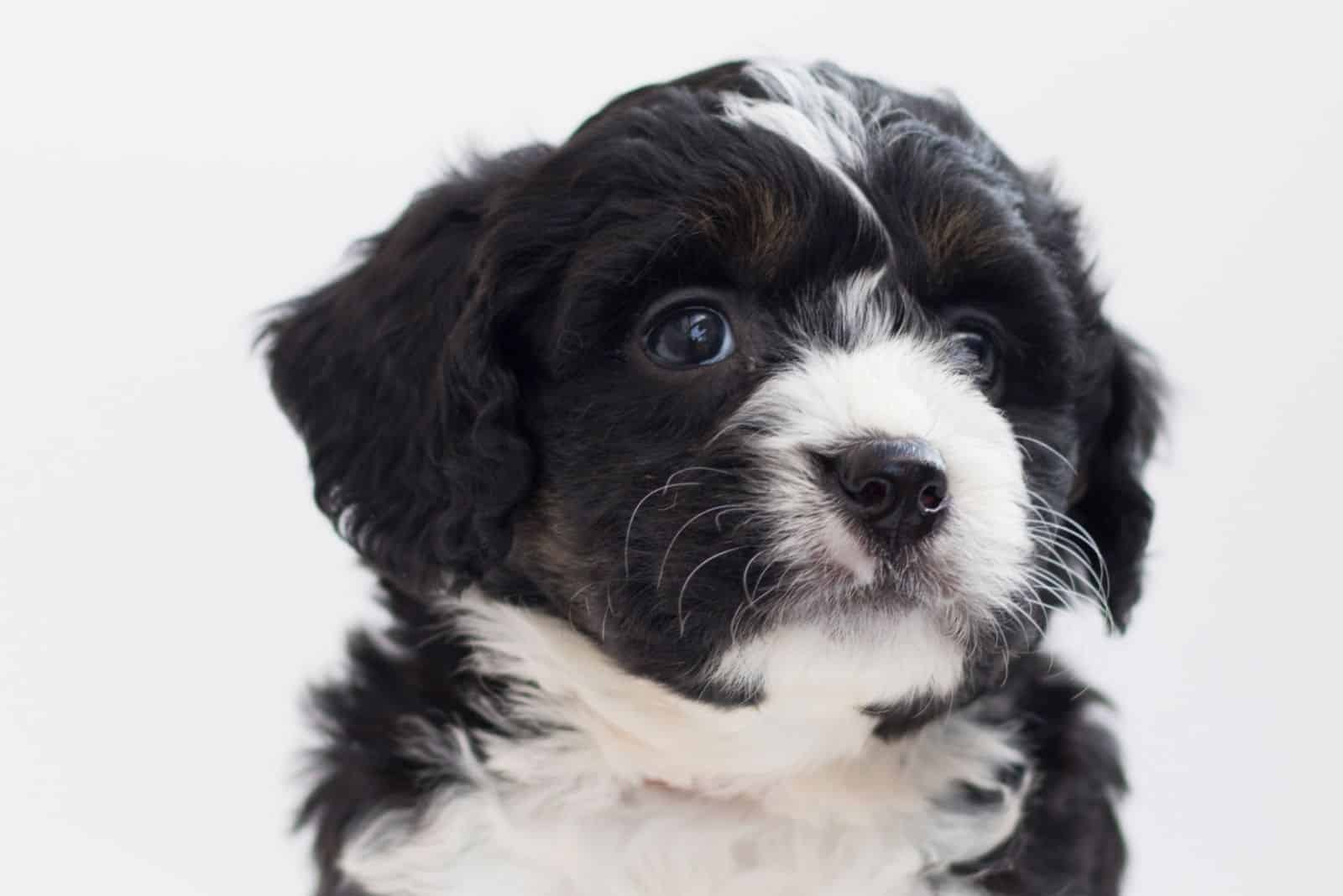 white and black puppy of bernedoodle breed