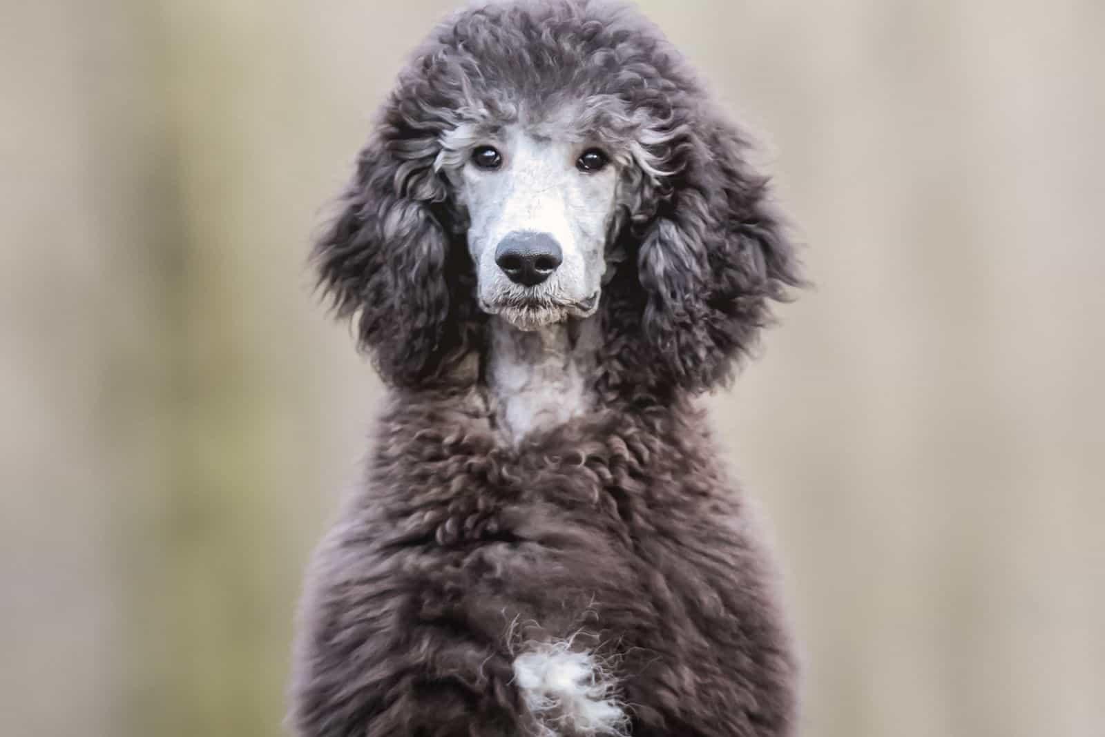 white and gray phantom poodle dog sitting